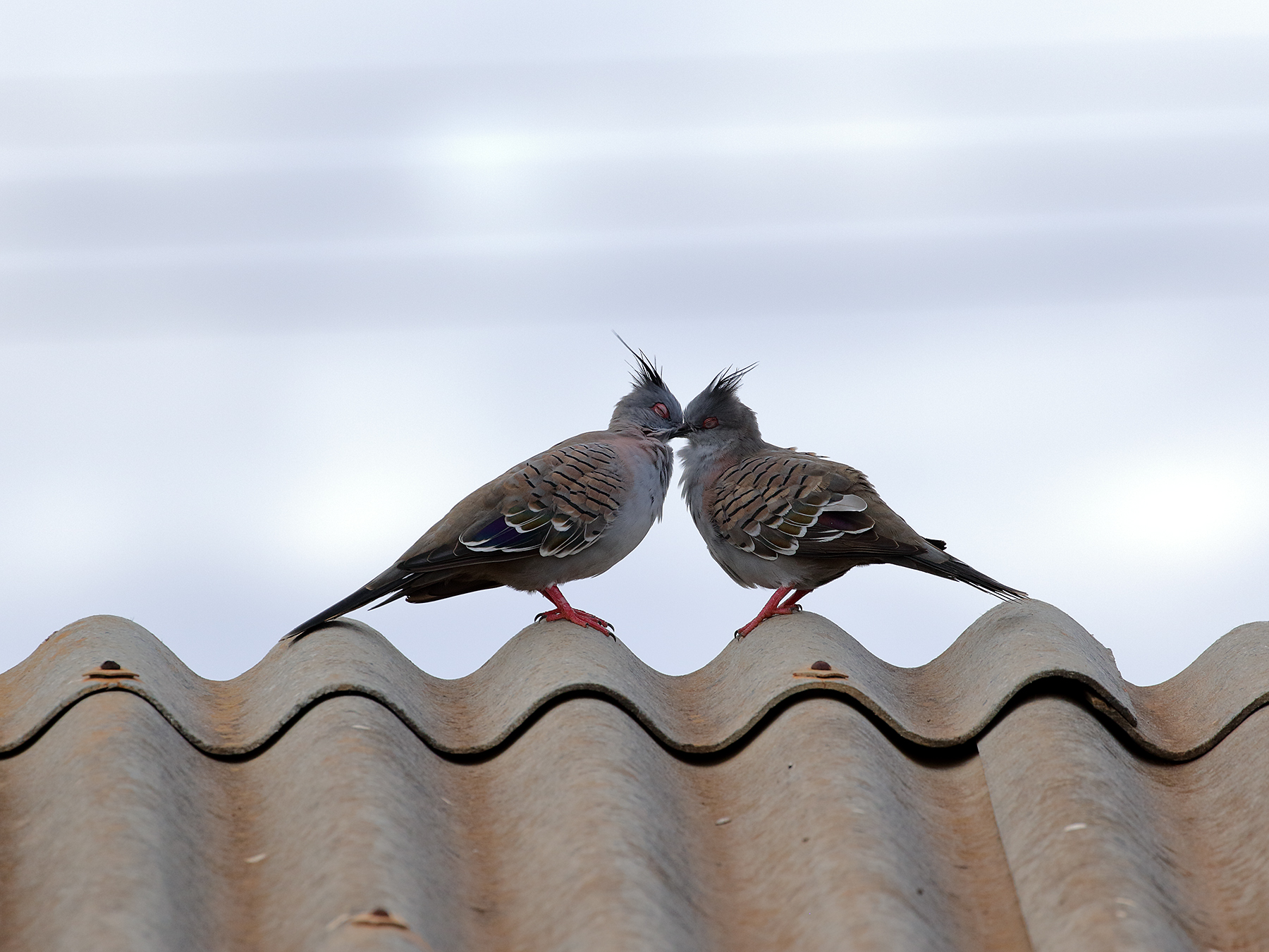 Crested Pigeon (Image ID 40173)