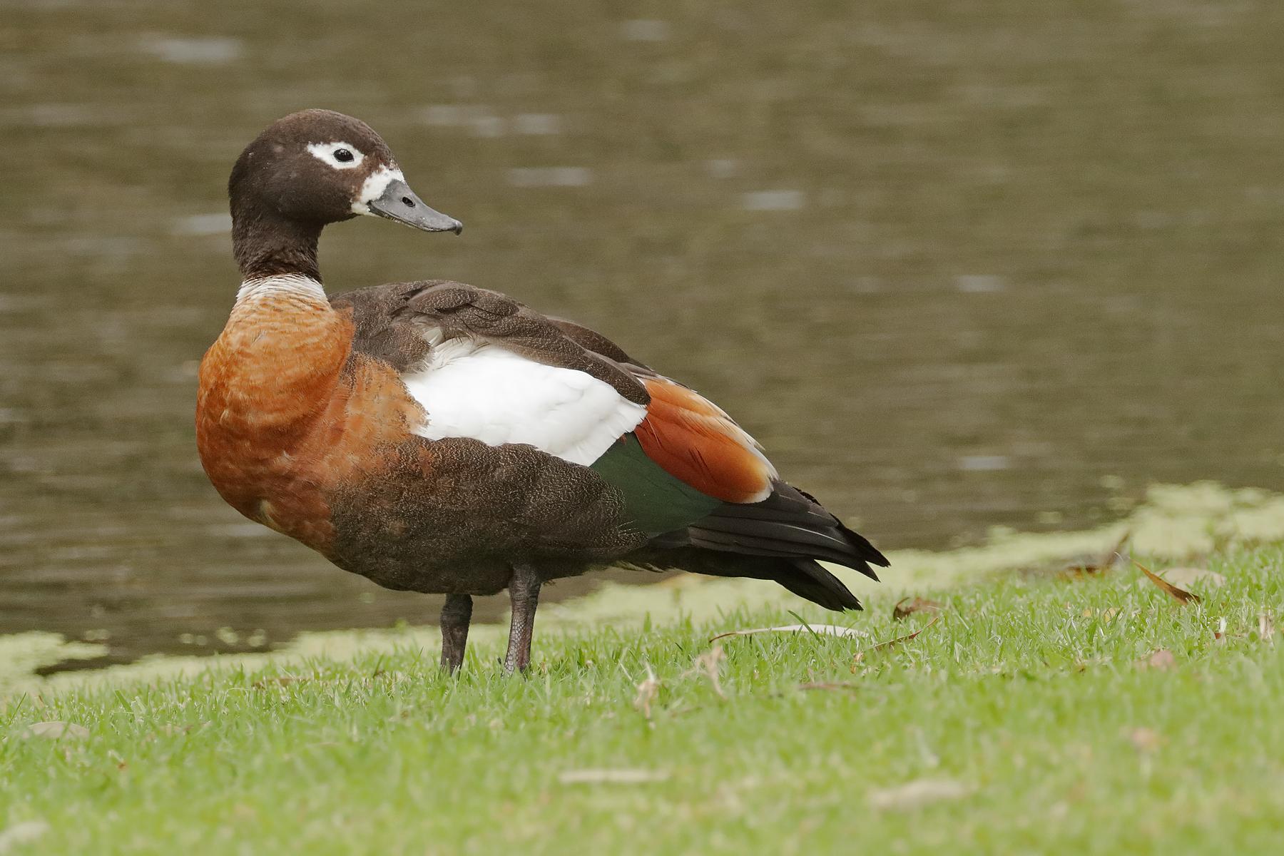Australian Shelduck (Image ID 40225)