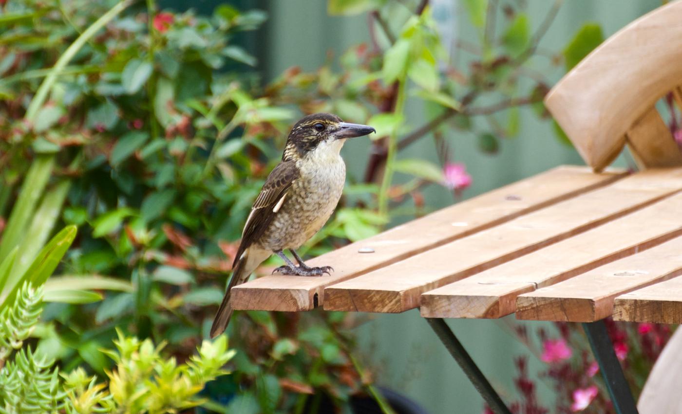 Grey Butcherbird (Image ID 40062)