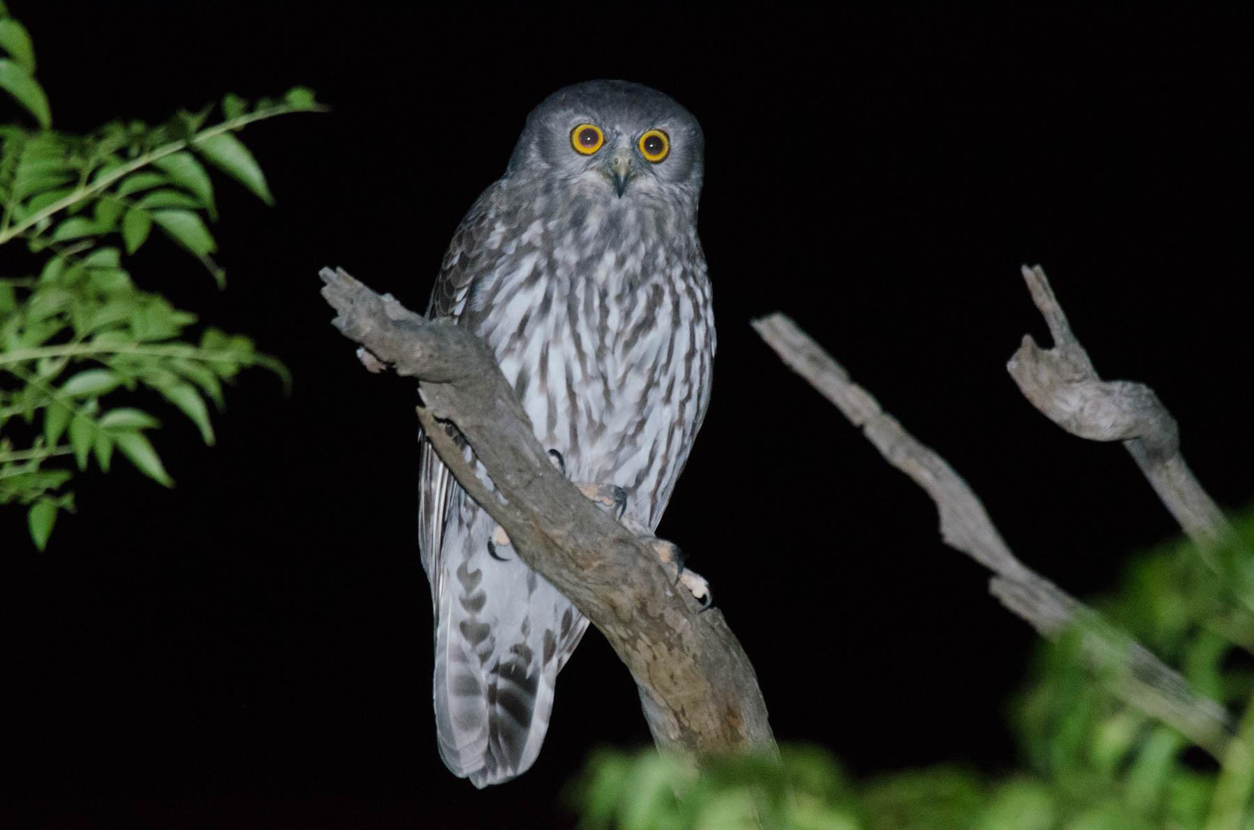 Barking Owl (Image ID 40009)