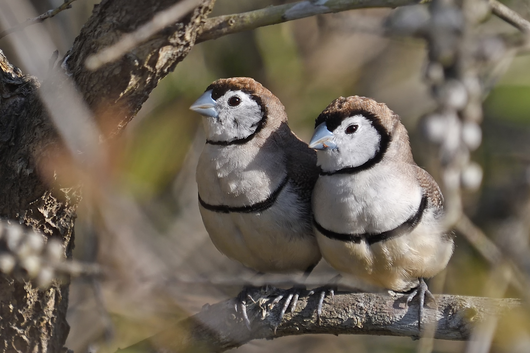Double-barred Finch (Image ID 40158)