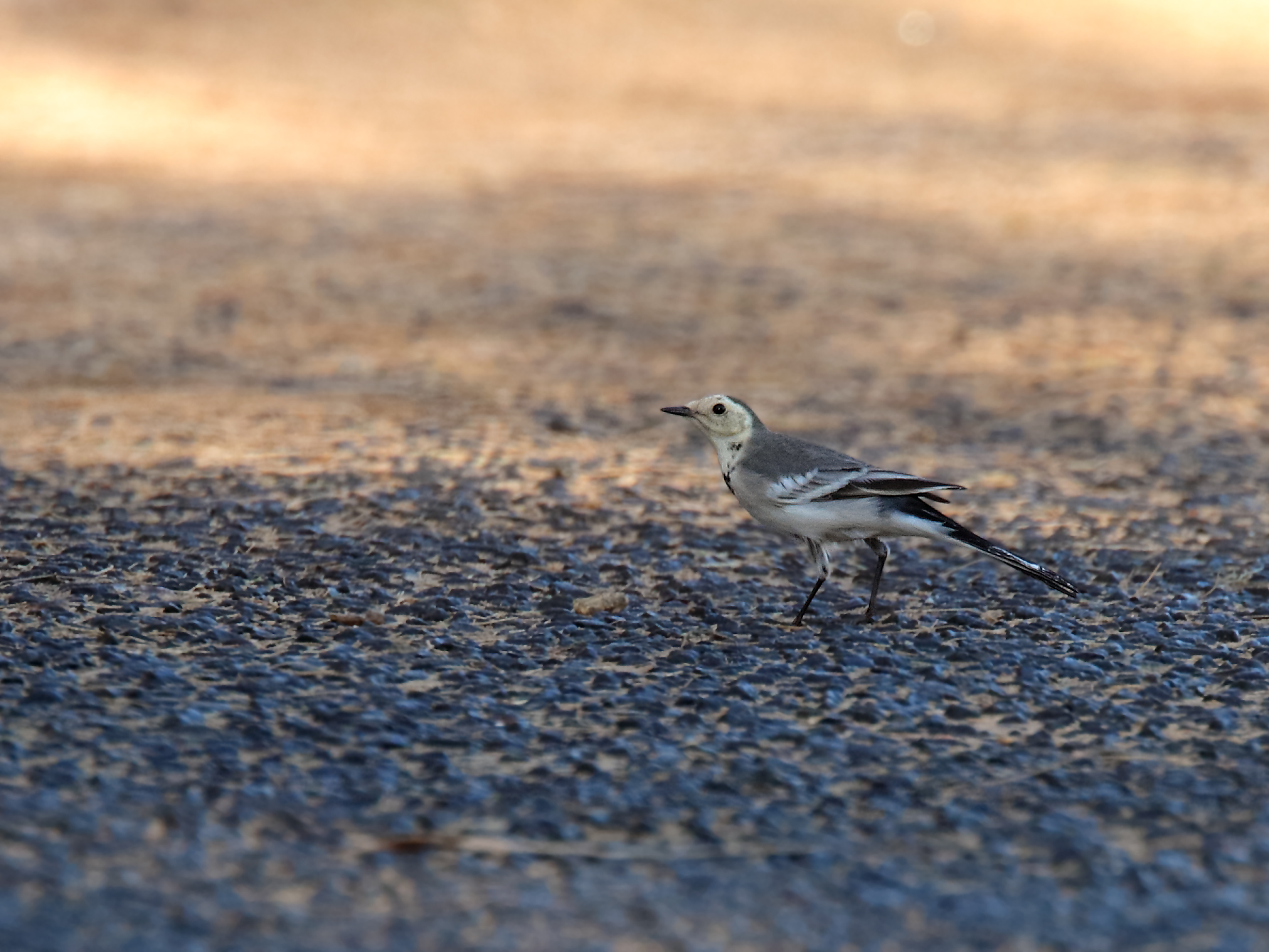 White Wagtail (V) (Image ID 39884)