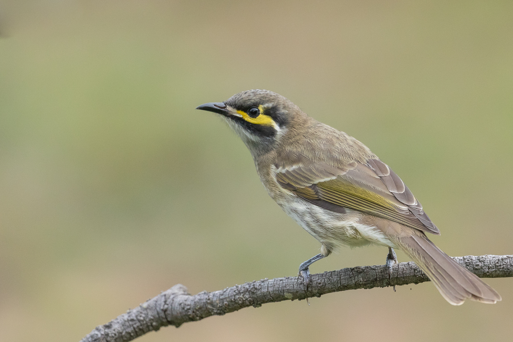 Yellow-faced Honeyeater (Image ID 40058)