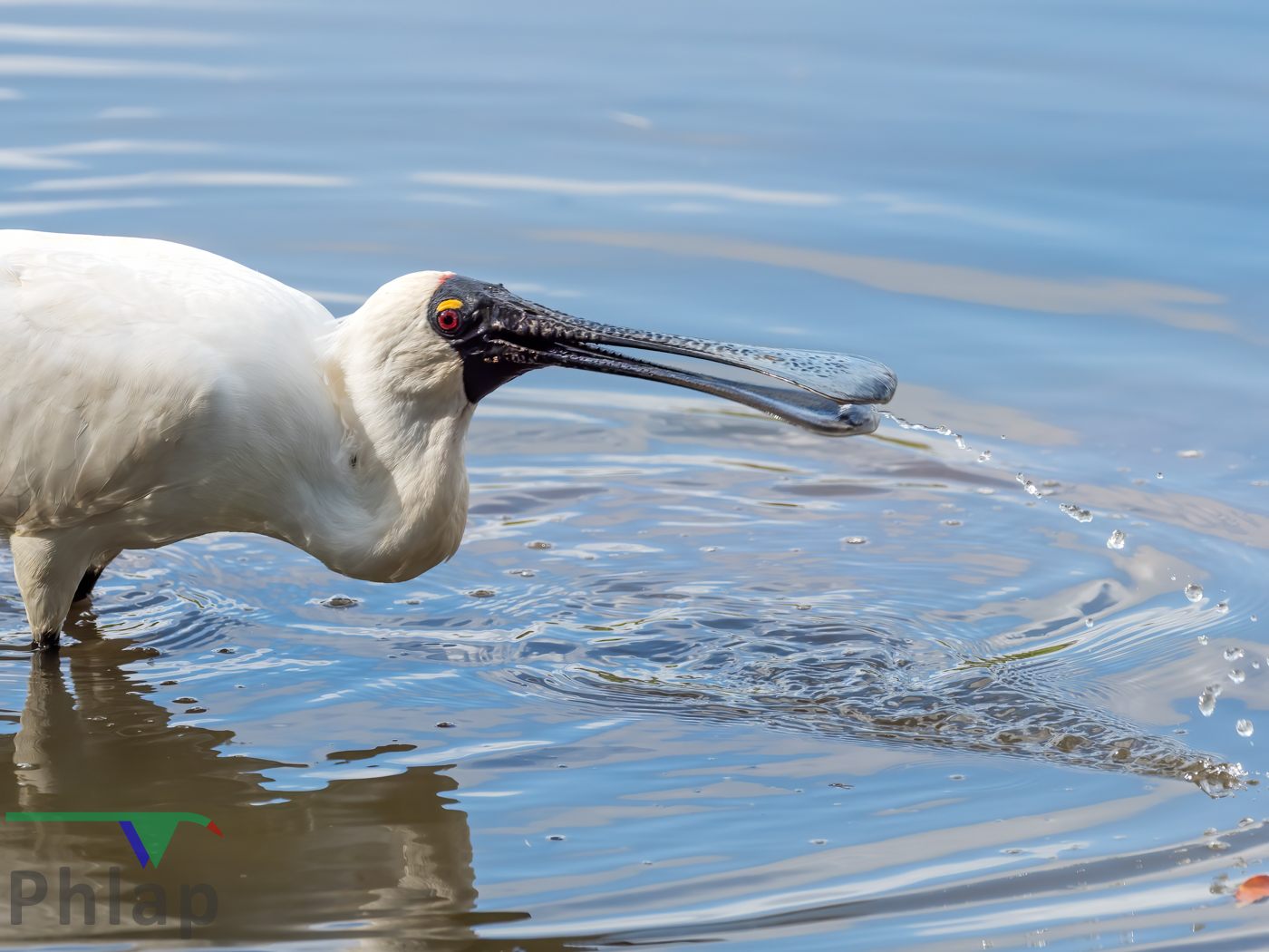 Royal Spoonbill (Image ID 39947)
