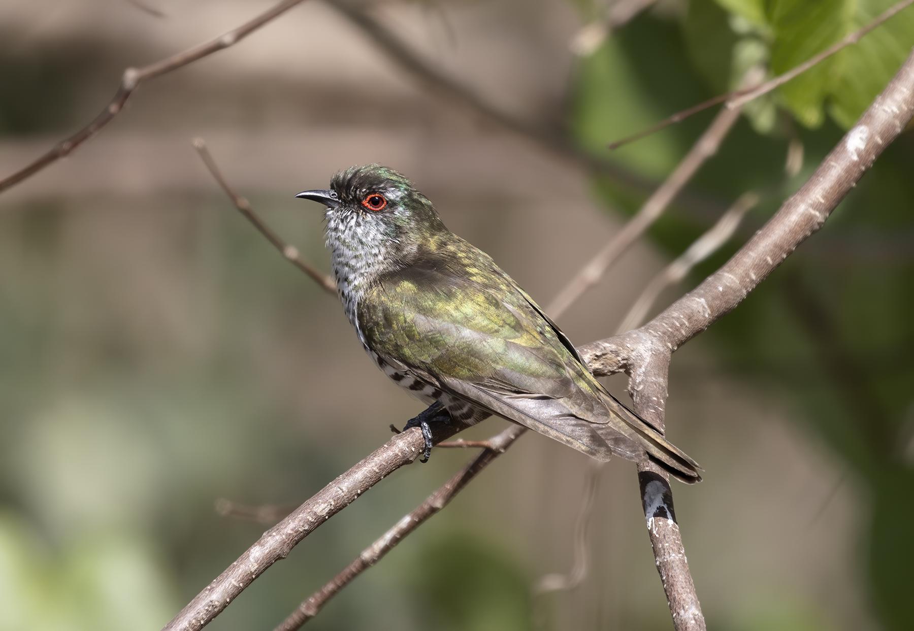 Little Bronze-Cuckoo (Image ID 40215)