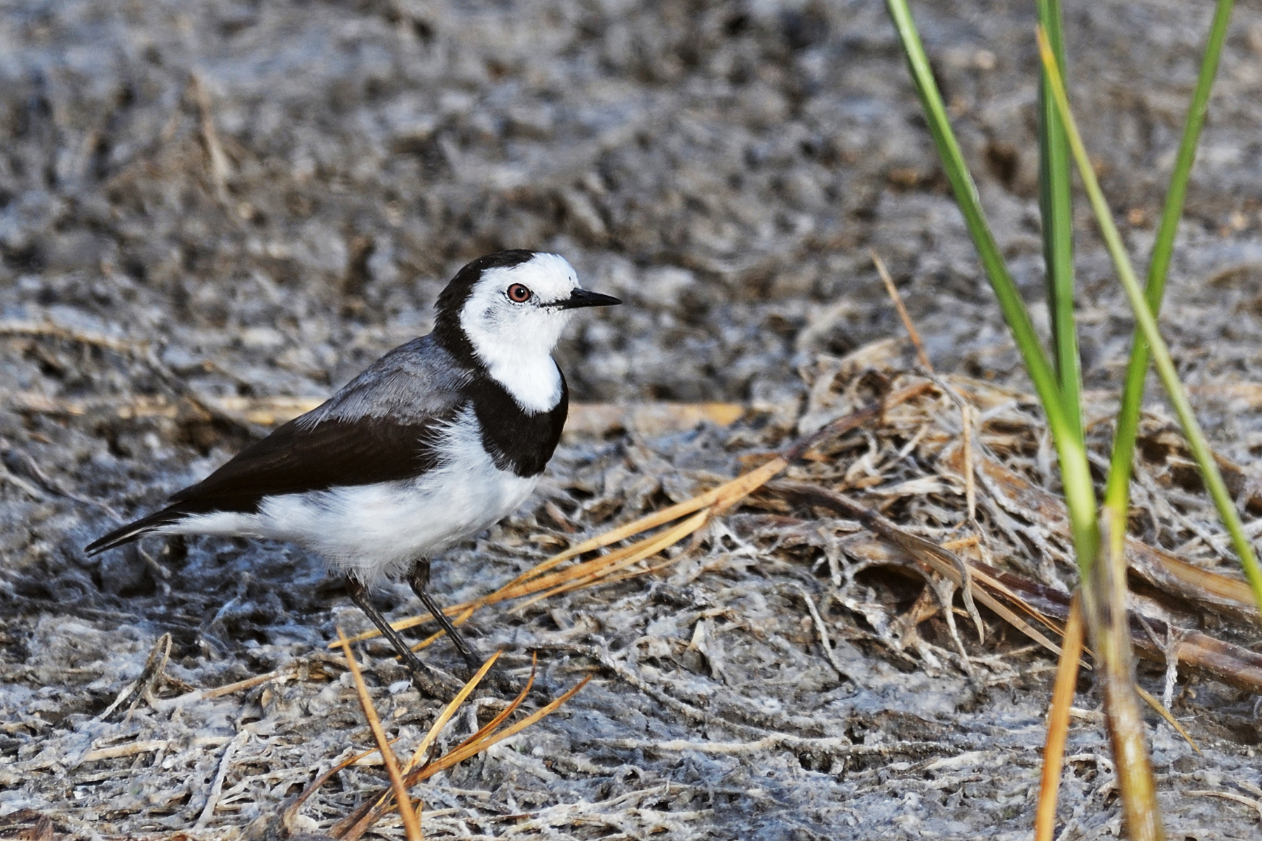 White-fronted Chat (Image ID 40157)