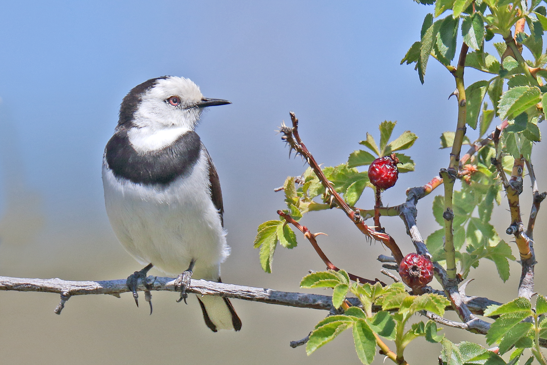 White-fronted Chat (Image ID 40214)