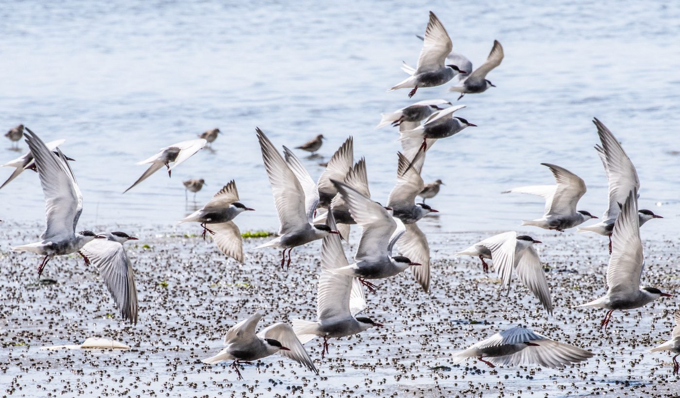 Whiskered Tern (Image ID 39897)