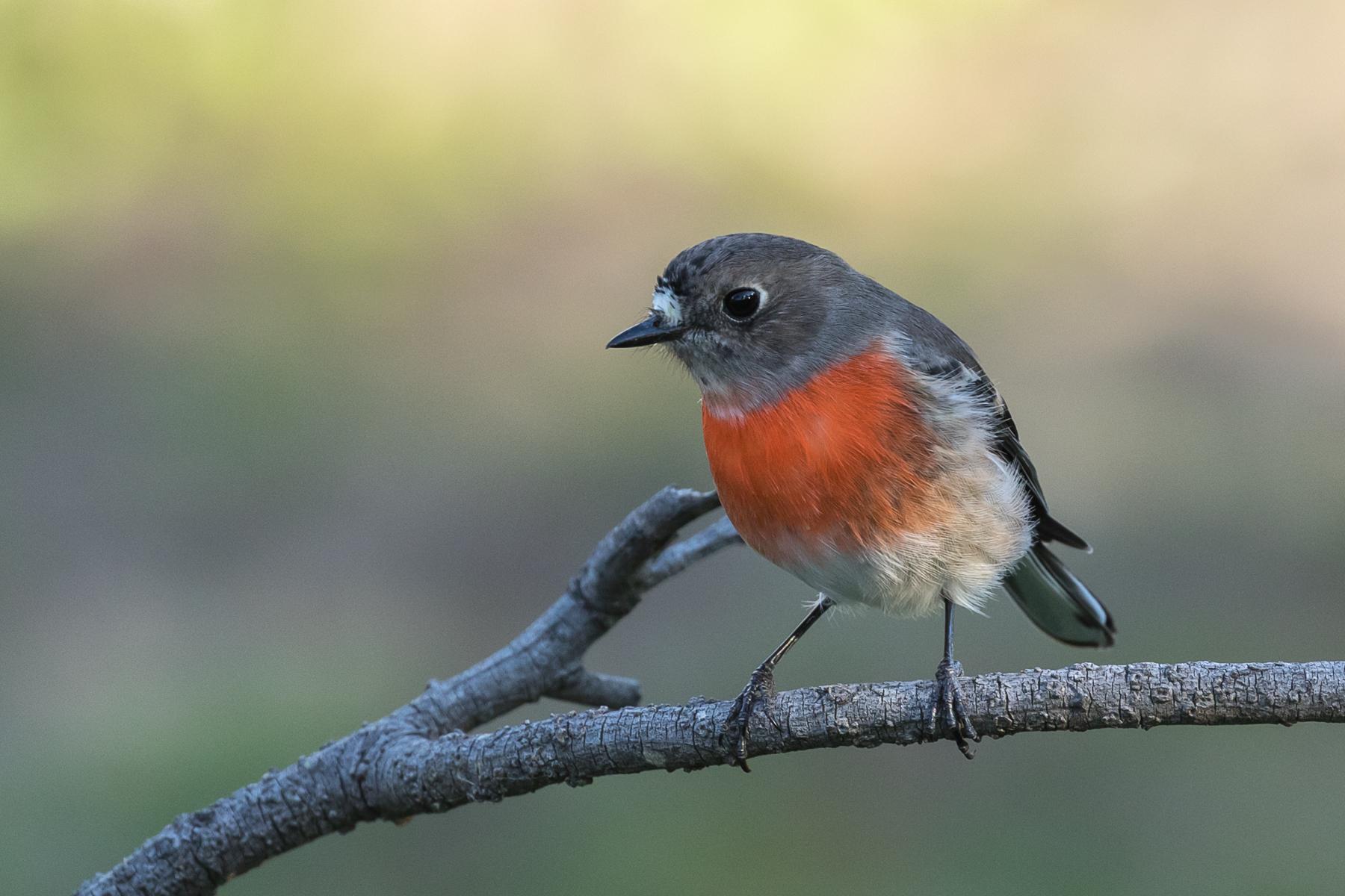 Scarlet Robin (Image ID 39952)