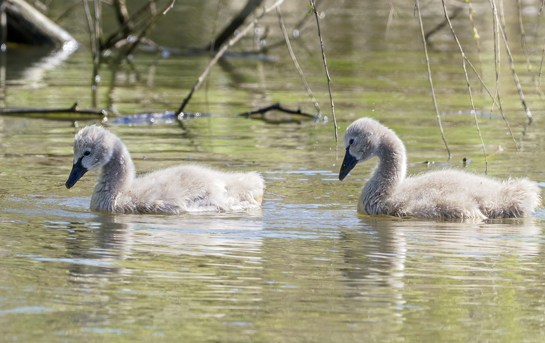 Black Swan (Image ID 40166)