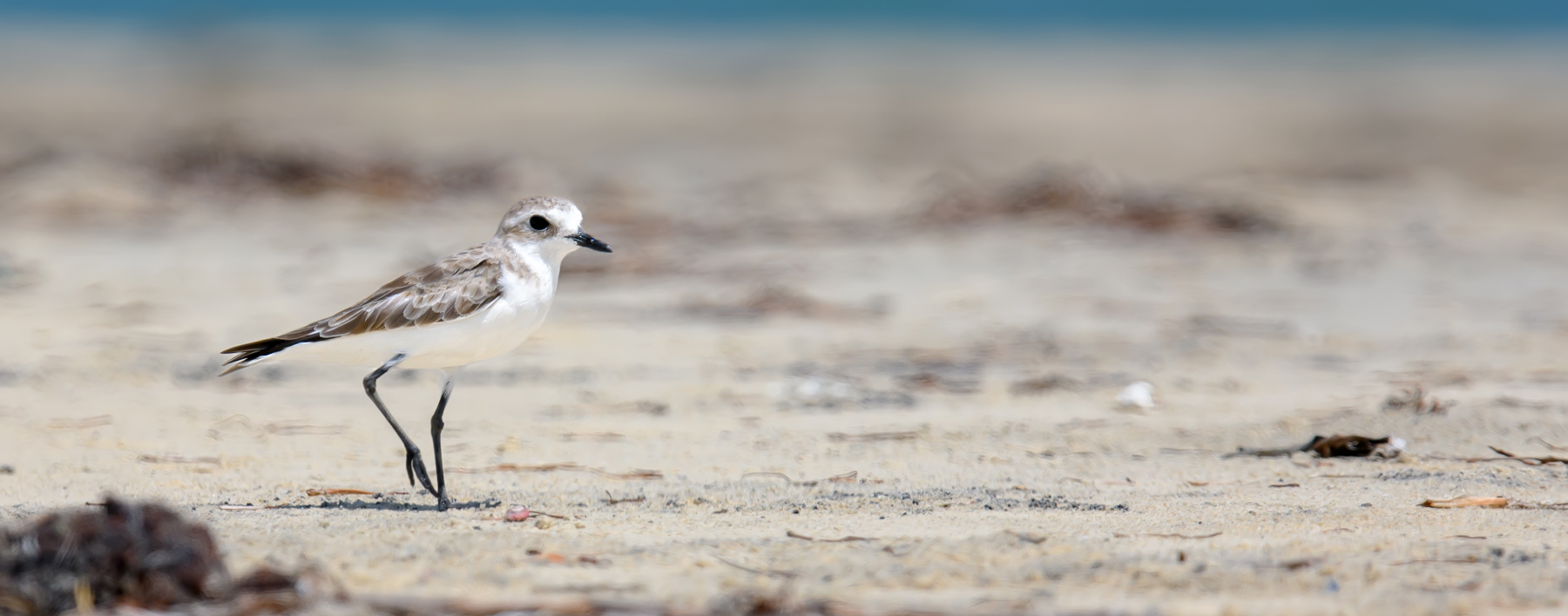 Greater Sand Plover (Image ID 39863)