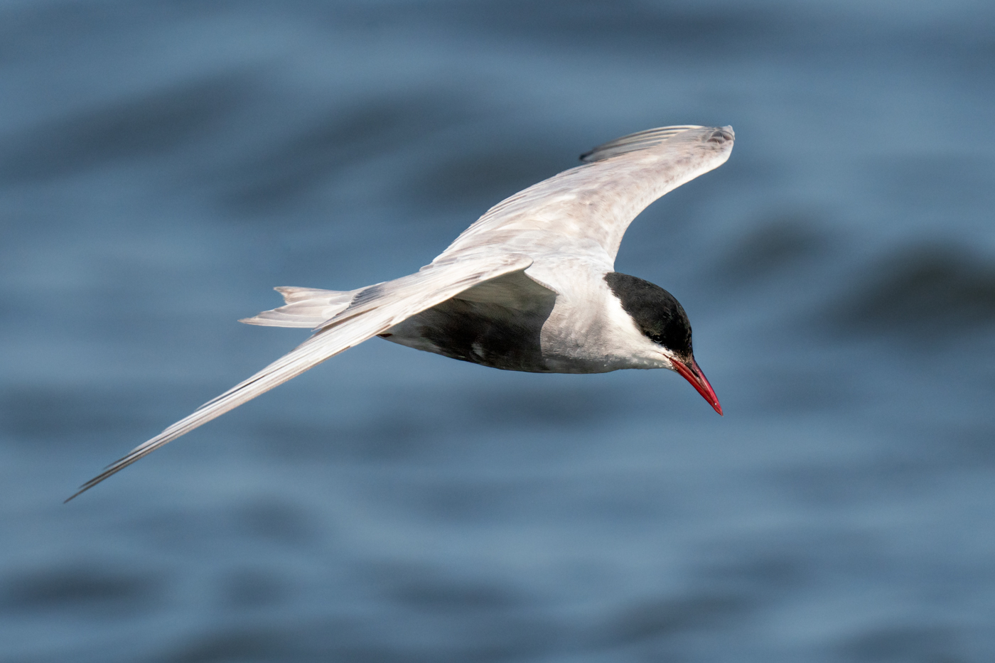 Whiskered Tern (Image ID 40267)