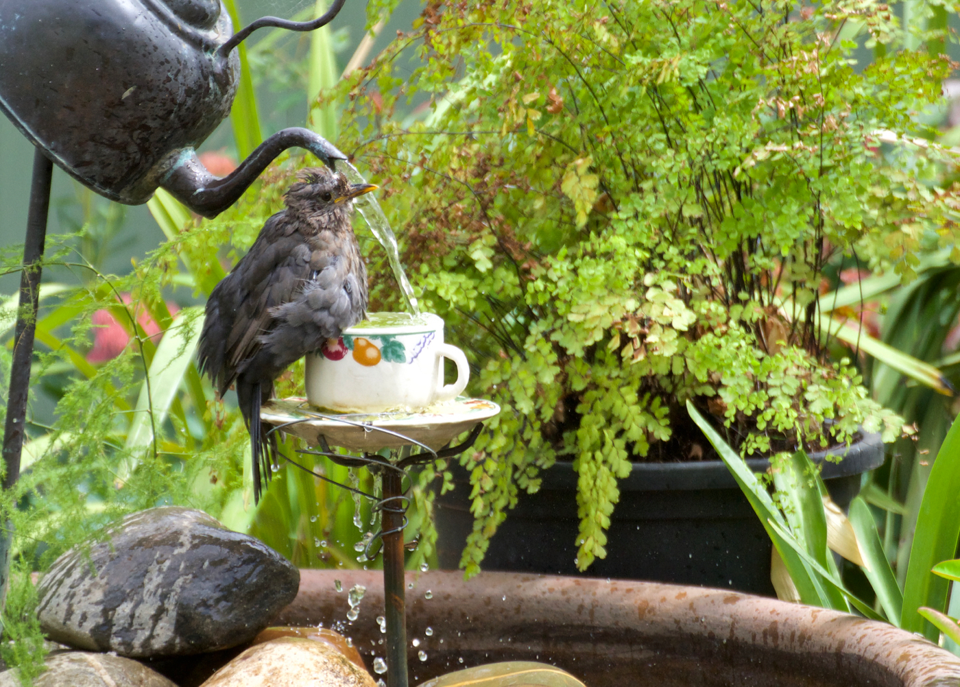 Common Blackbird (Image ID 40069)