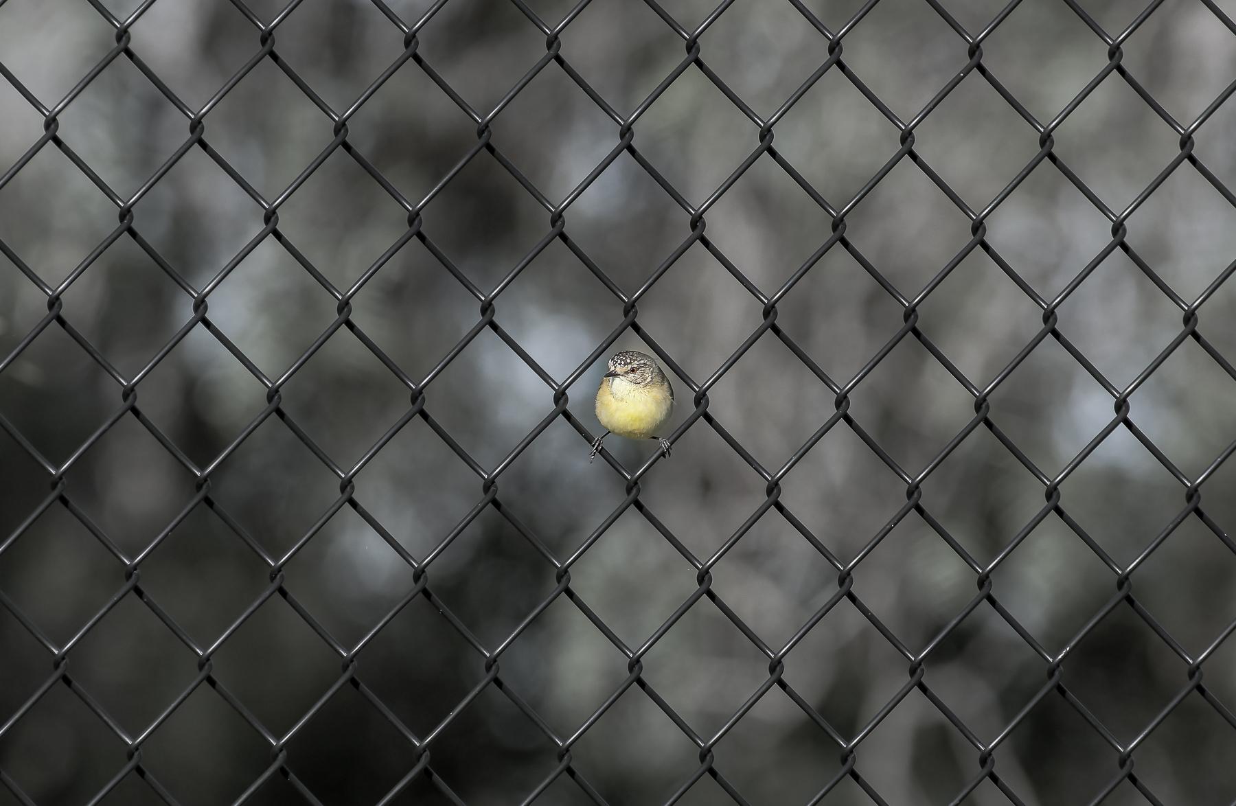 Yellow-rumped Thornbill (Image ID 40133)