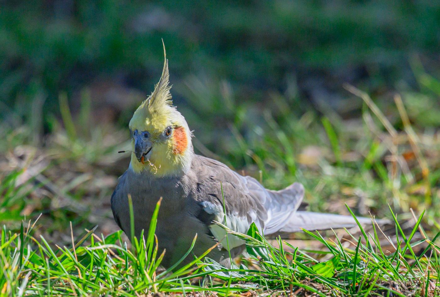 Cockatiel (Image ID 40111)