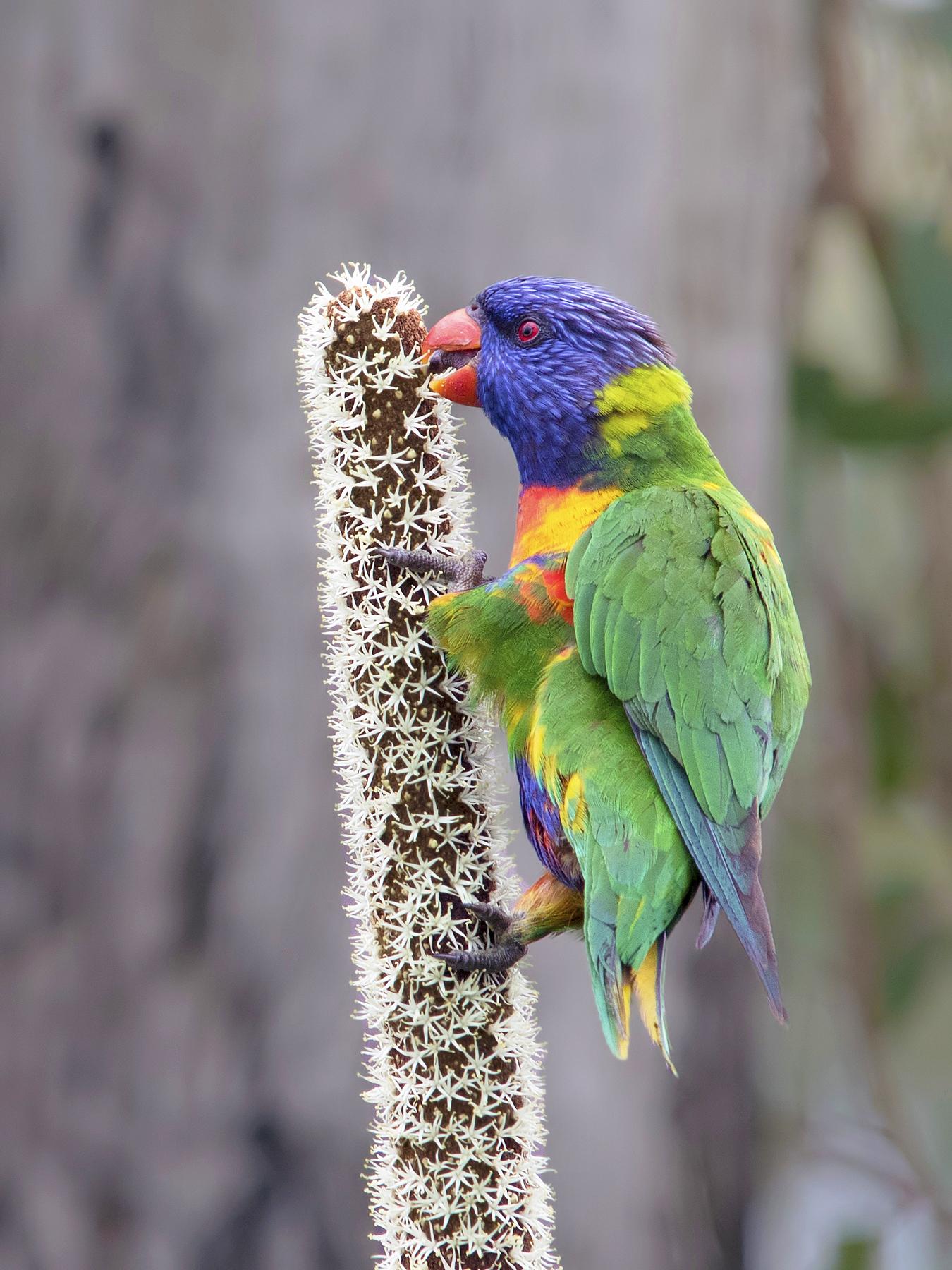 Rainbow Lorikeet (Image ID 40188)
