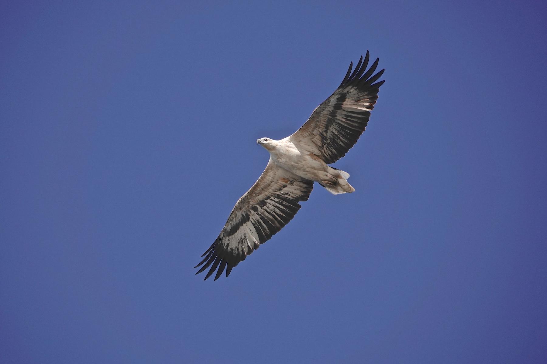 White-bellied Sea-Eagle (Image ID 39926)