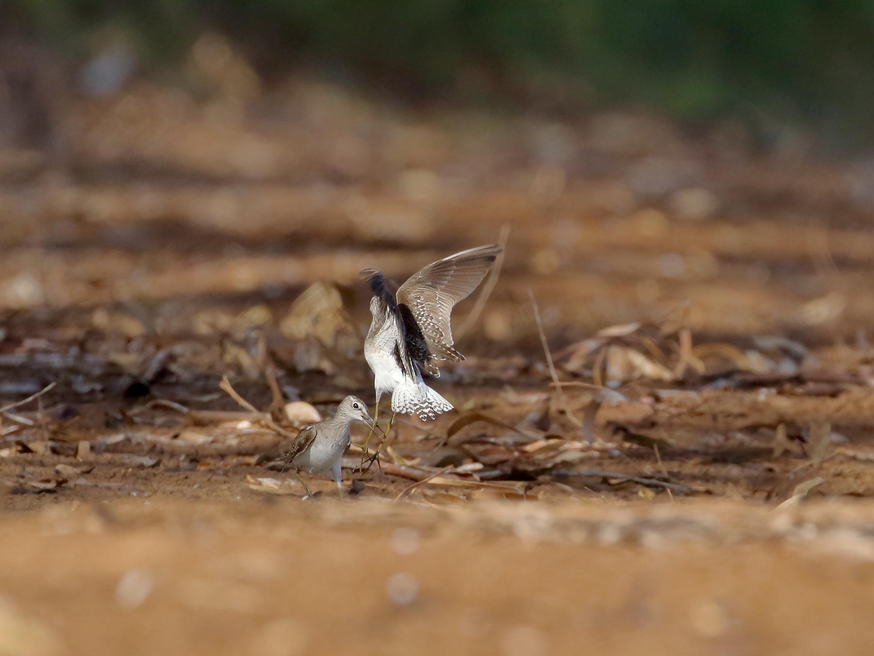 Wood Sandpiper (Image ID 40041)