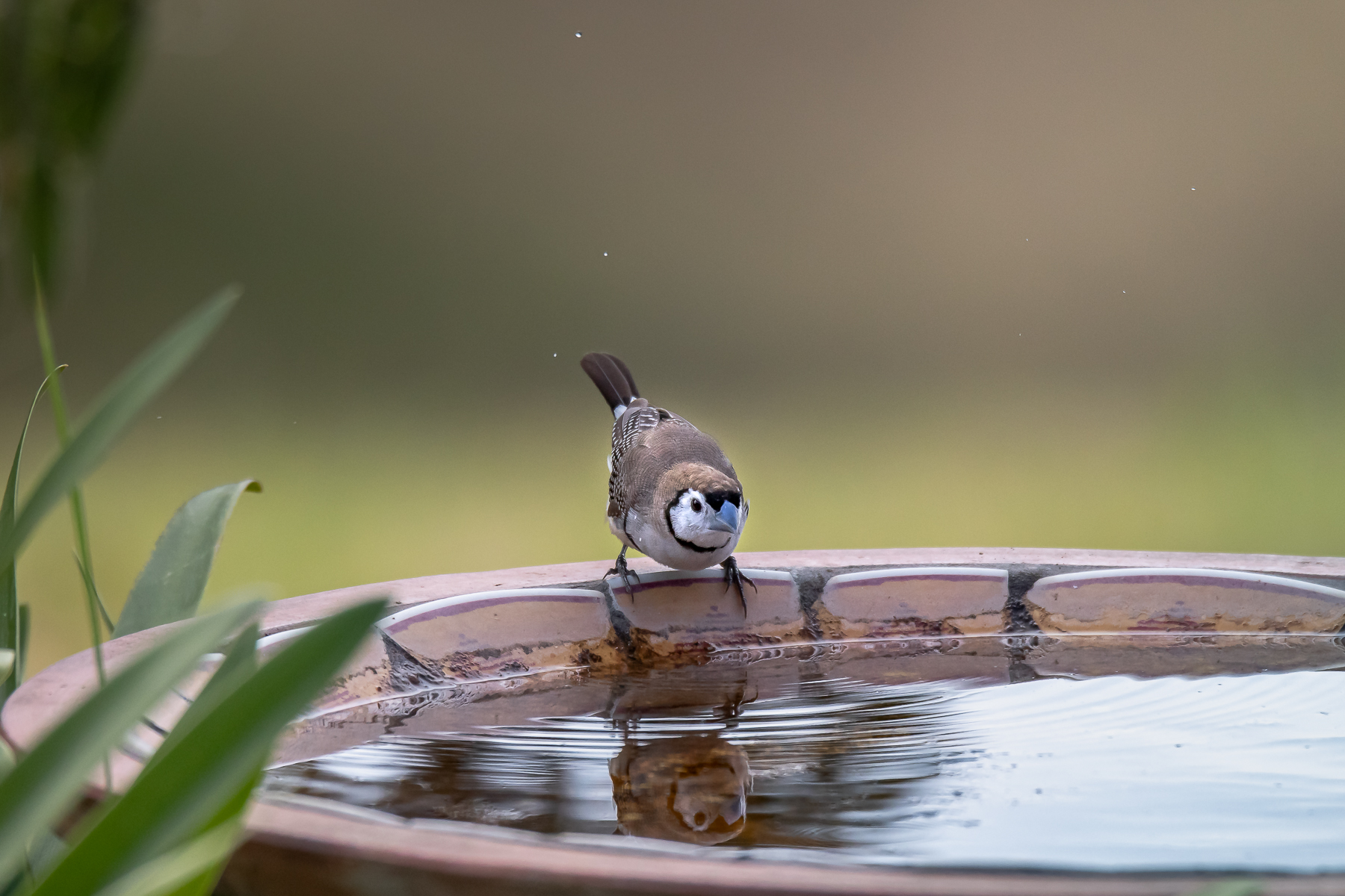 Double-barred Finch (Image ID 40271)