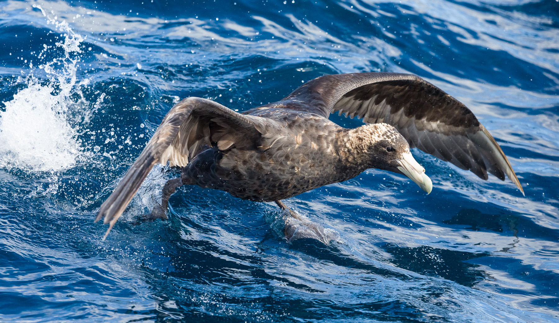 Southern Giant-Petrel (Image ID 39886)