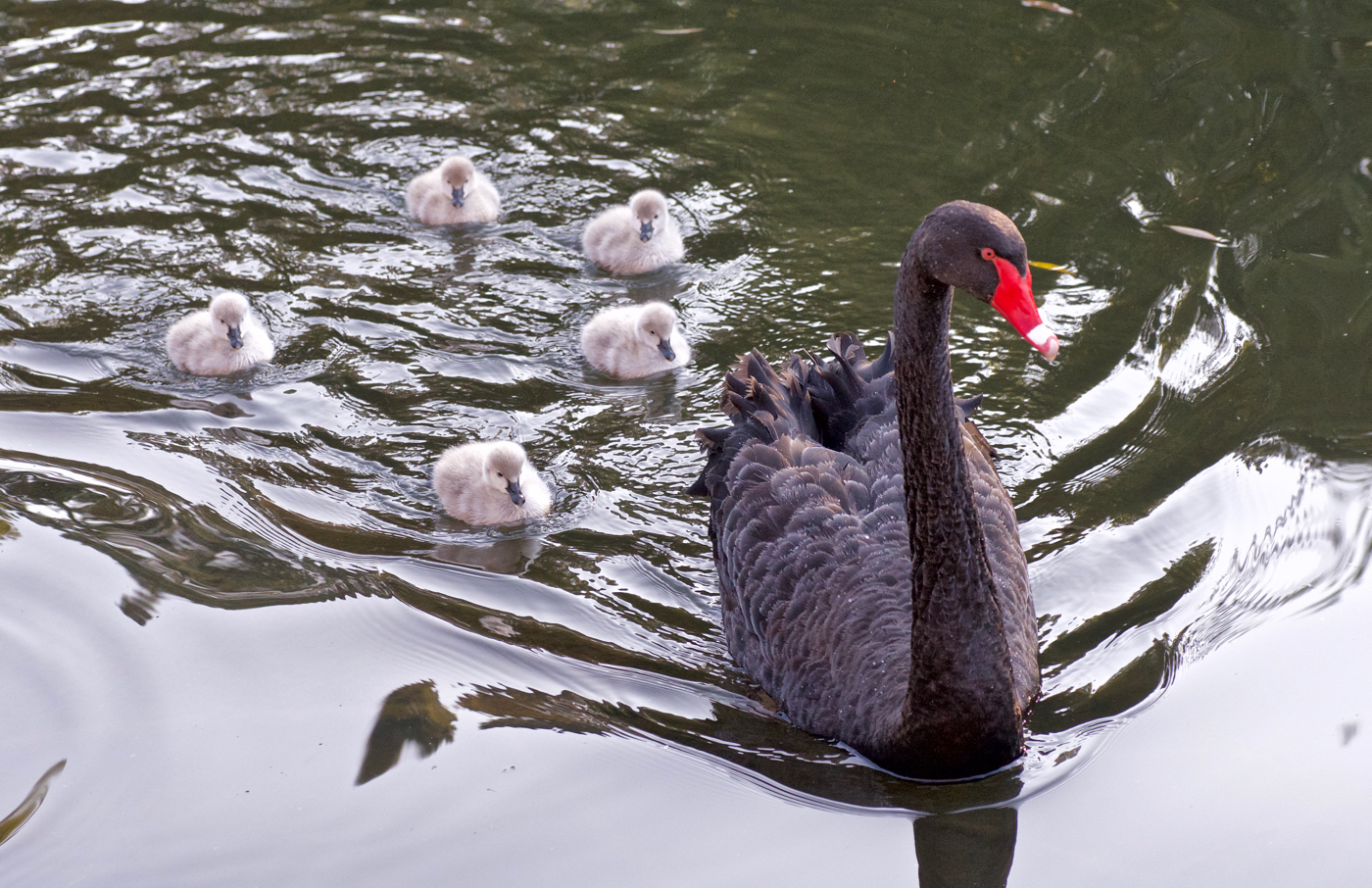 Black Swan (Image ID 40048)