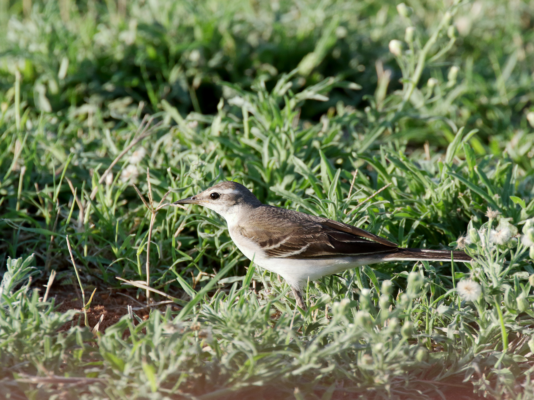 Eastern Yellow Wagtail (Image ID 39840)