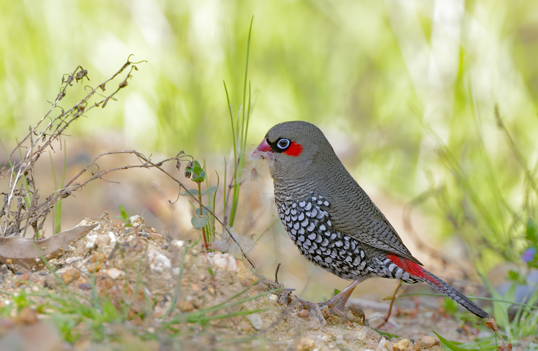 Red-eared Firetail (Image ID 40149)