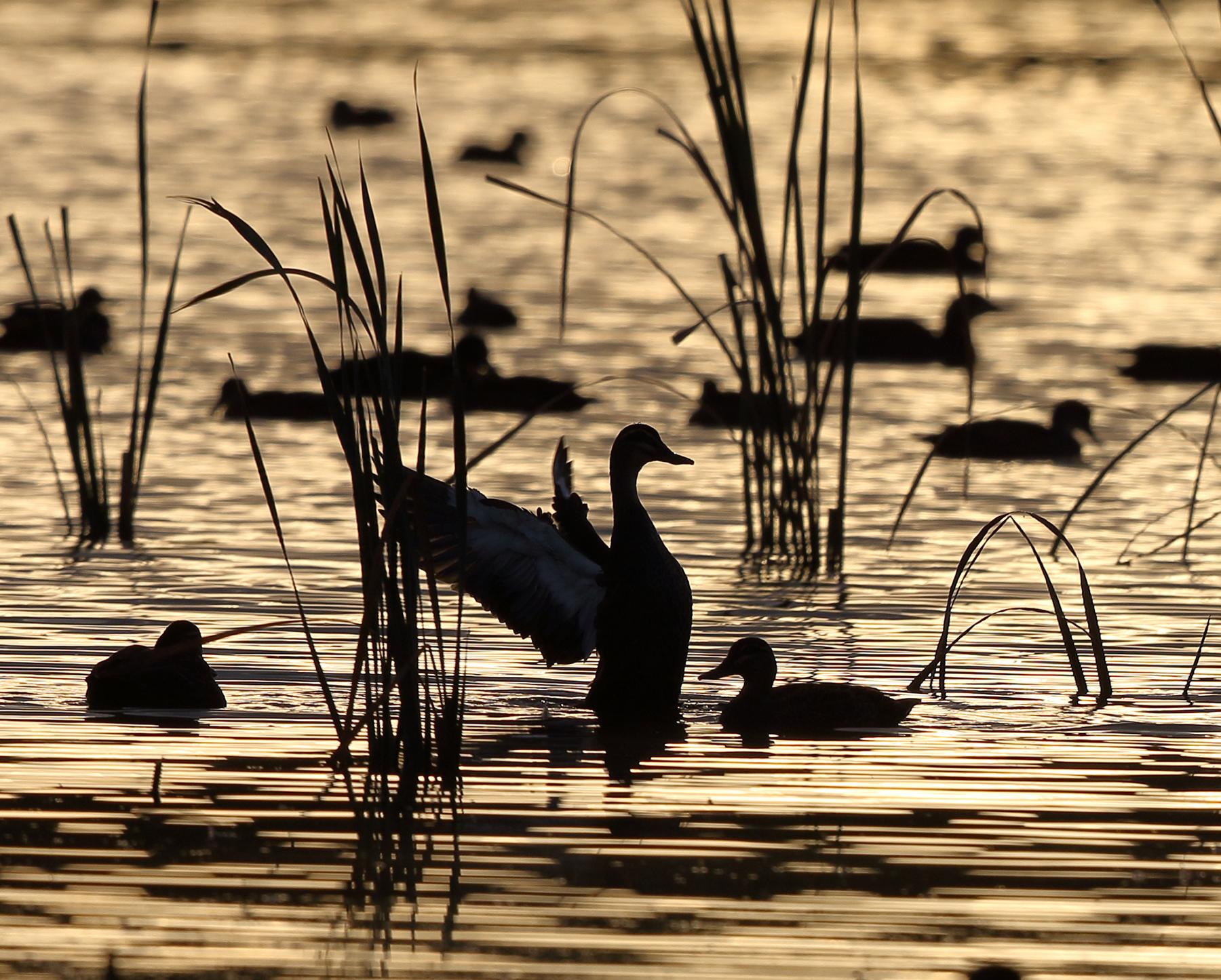 Pacific Black Duck (Image ID 40228)