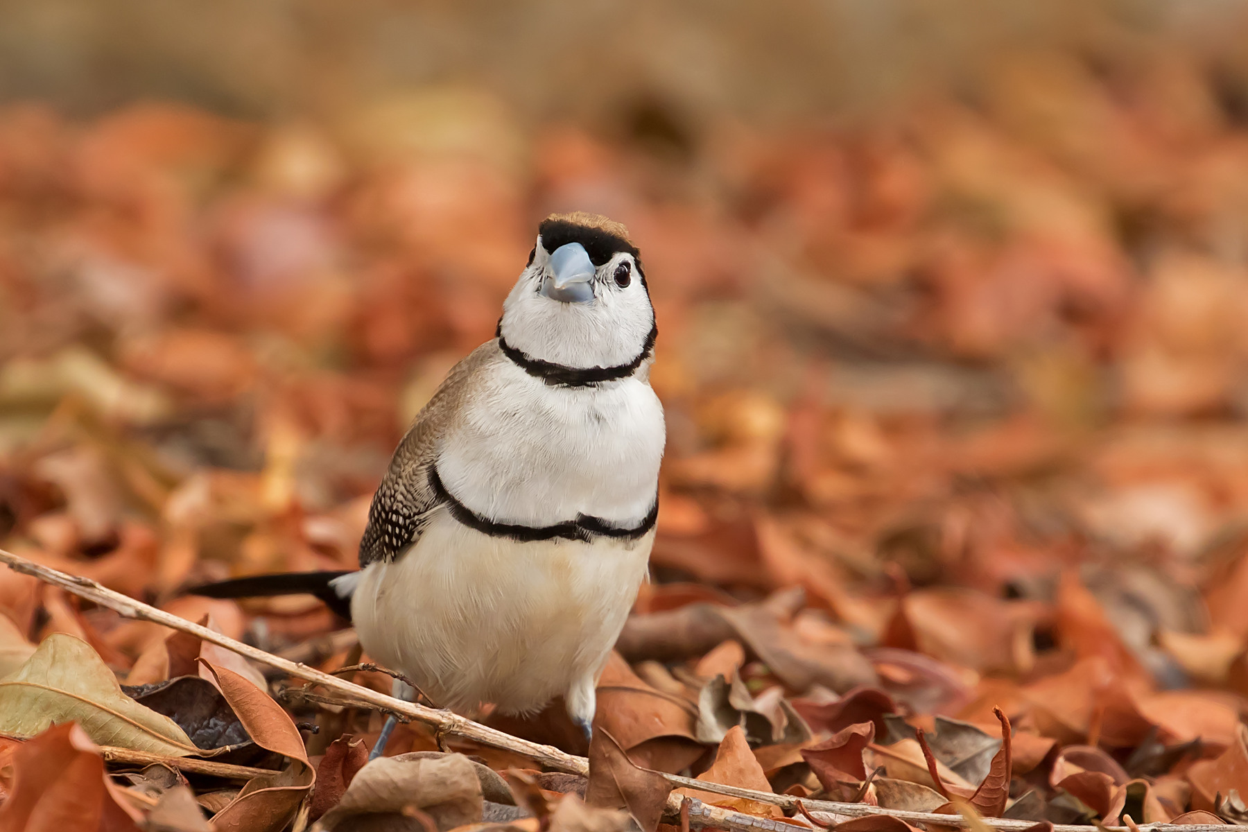 Double-barred Finch (Image ID 40455)