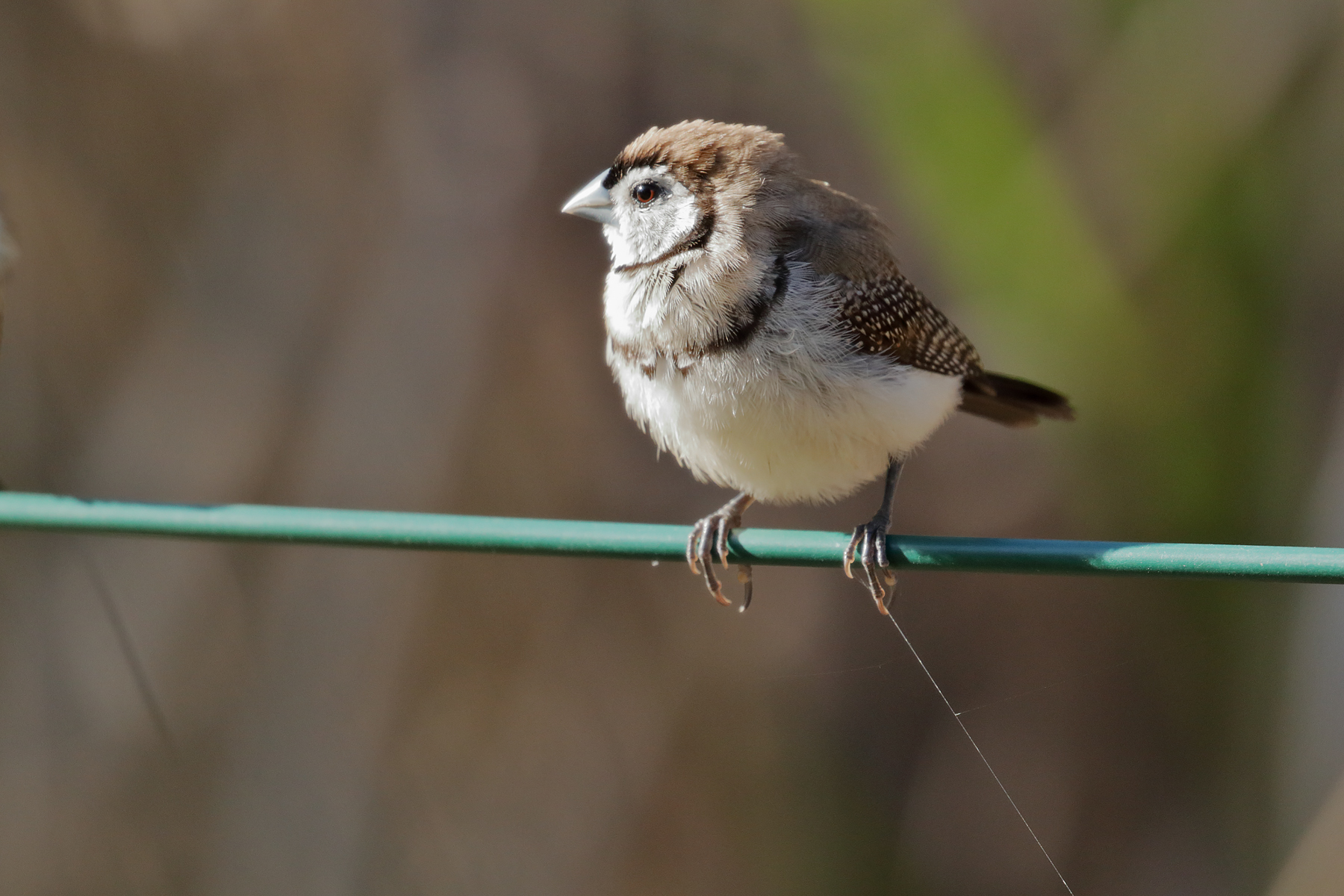 Double-barred Finch (Image ID 40367)
