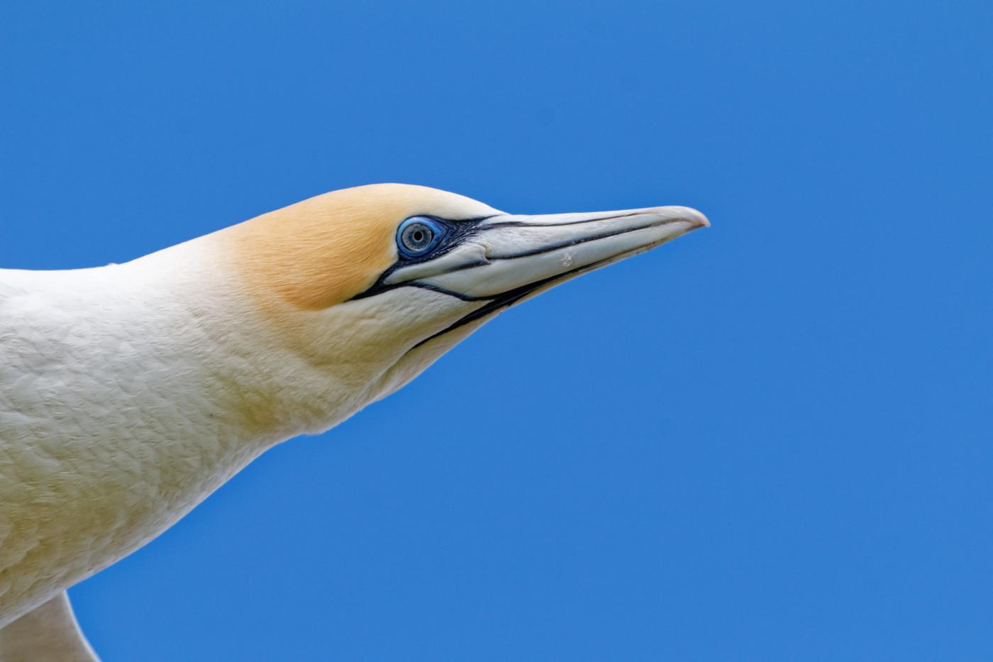 Australasian Gannet (Image ID 40373)