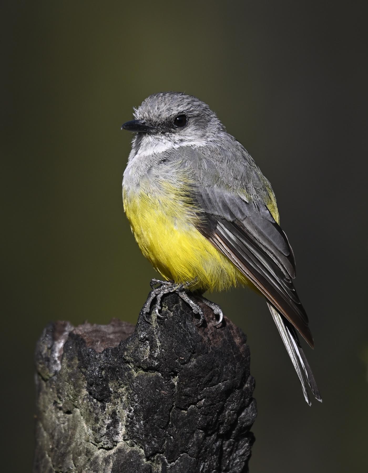 Western Yellow Robin (Image ID 40341)