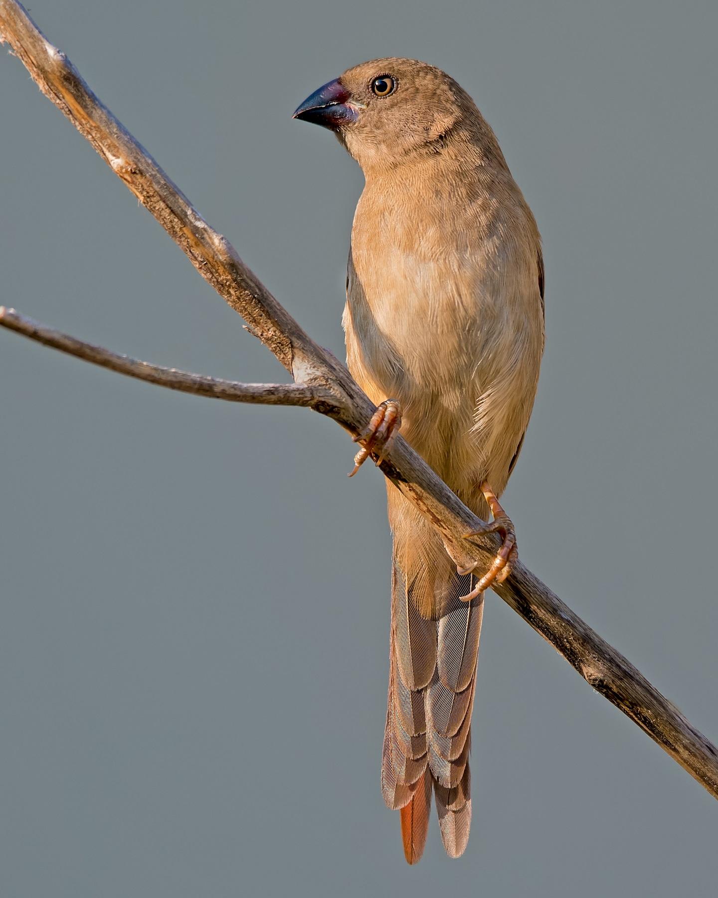 Black-bellied Crimson Finch (Image ID 40547)