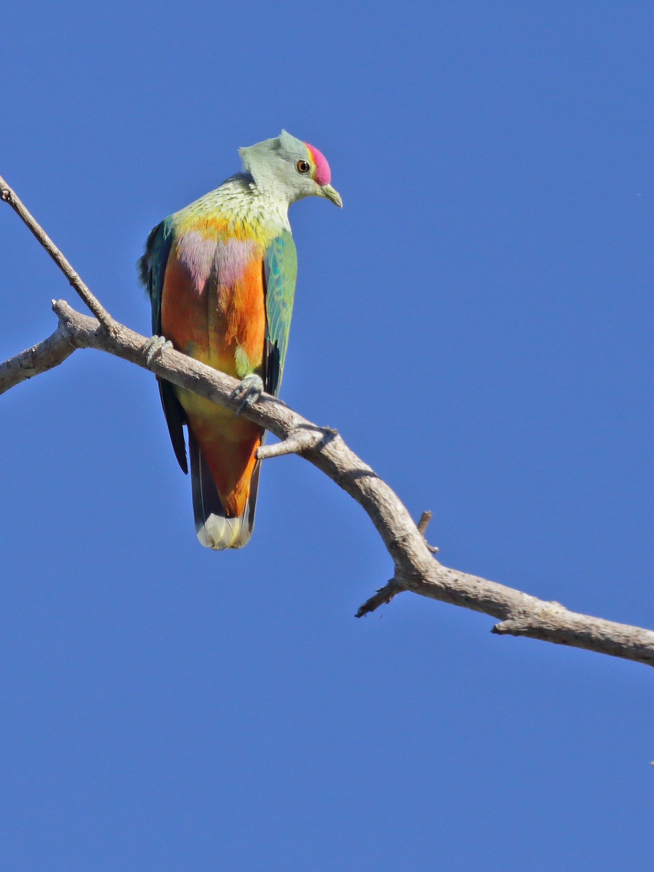 Rose-crowned Fruit-Dove (Image ID 40641)