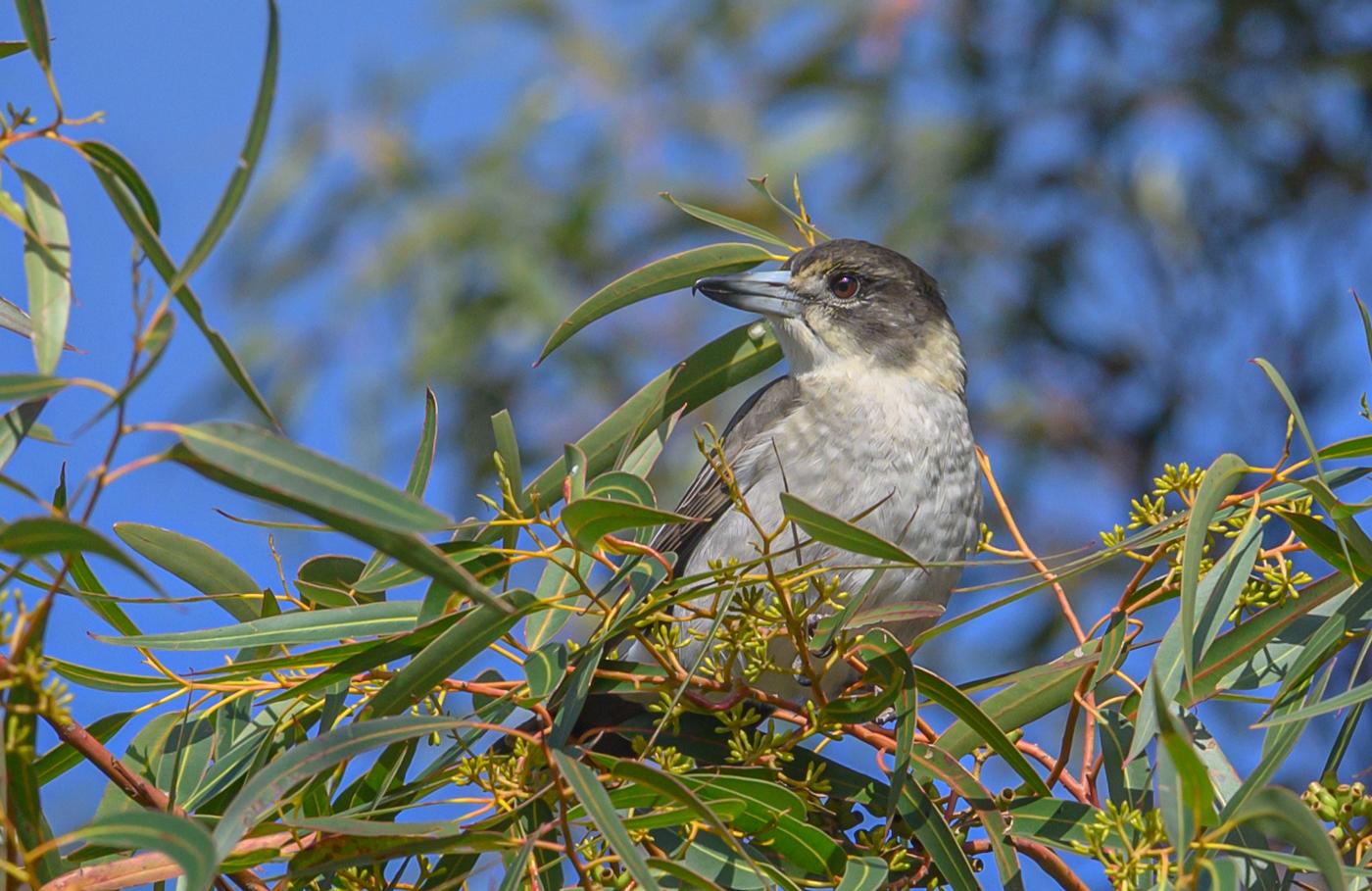 Grey Butcherbird (Image ID 40617)