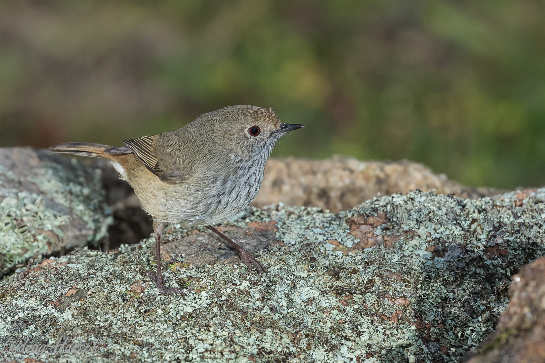 Brown Thornbill (Image ID 40497)