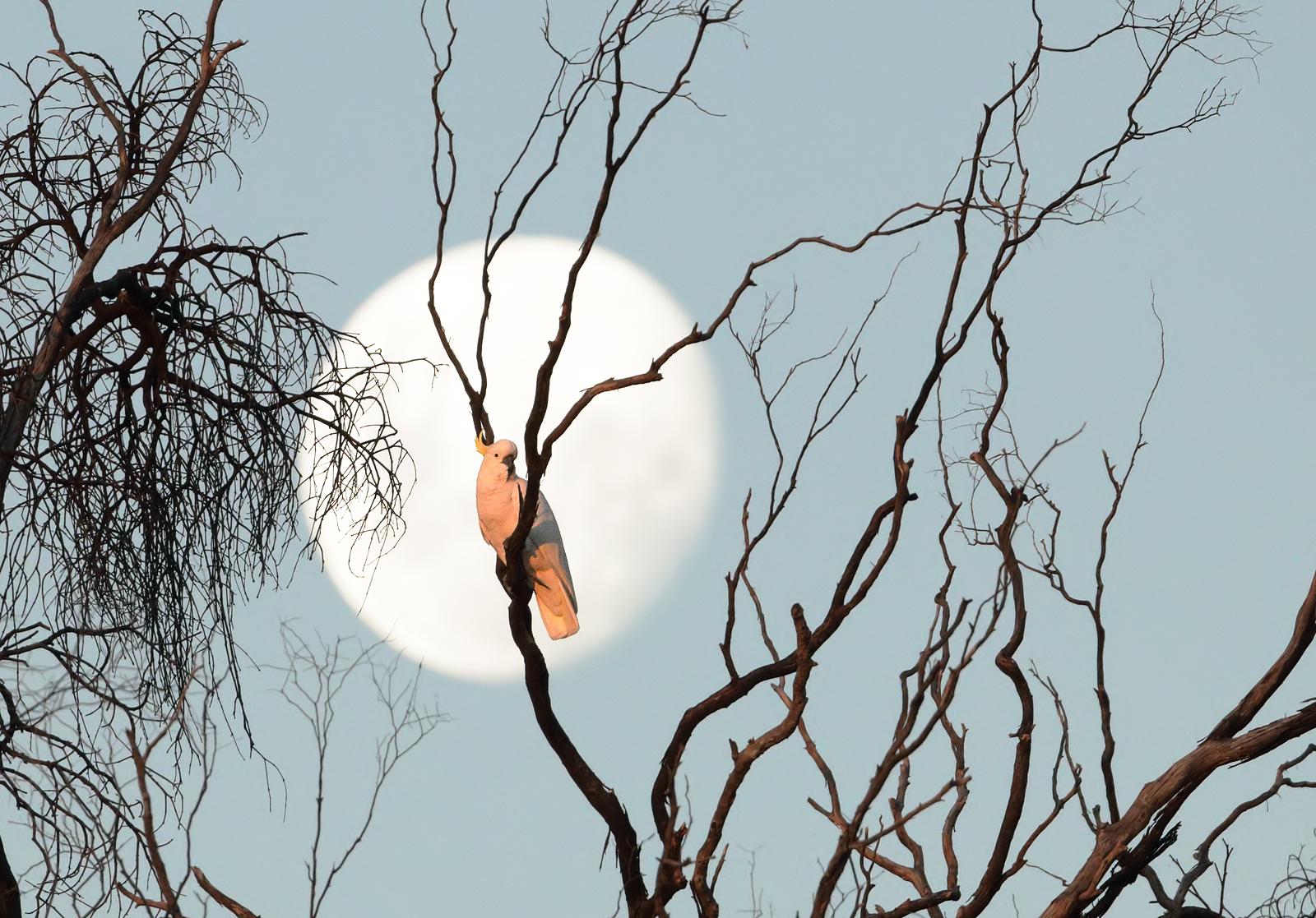 Sulphur-crested Cockatoo (Image ID 40625)