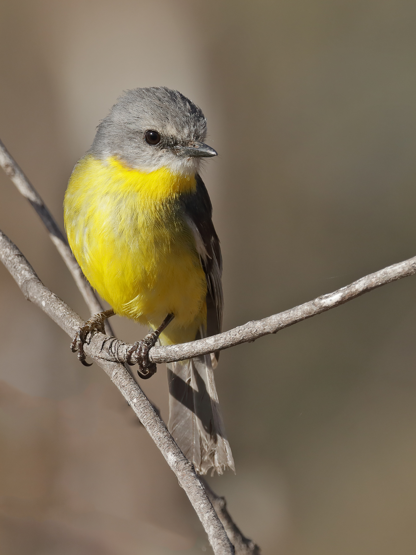 Eastern Yellow Robin (Image ID 40443)