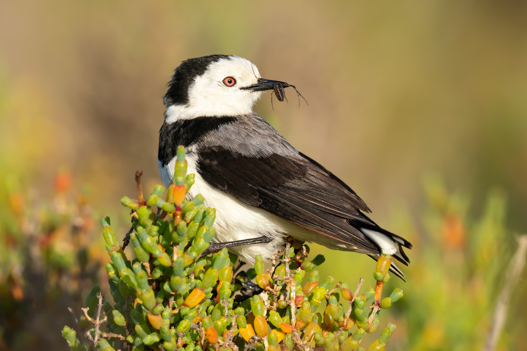 White-fronted Chat (Image ID 40492)