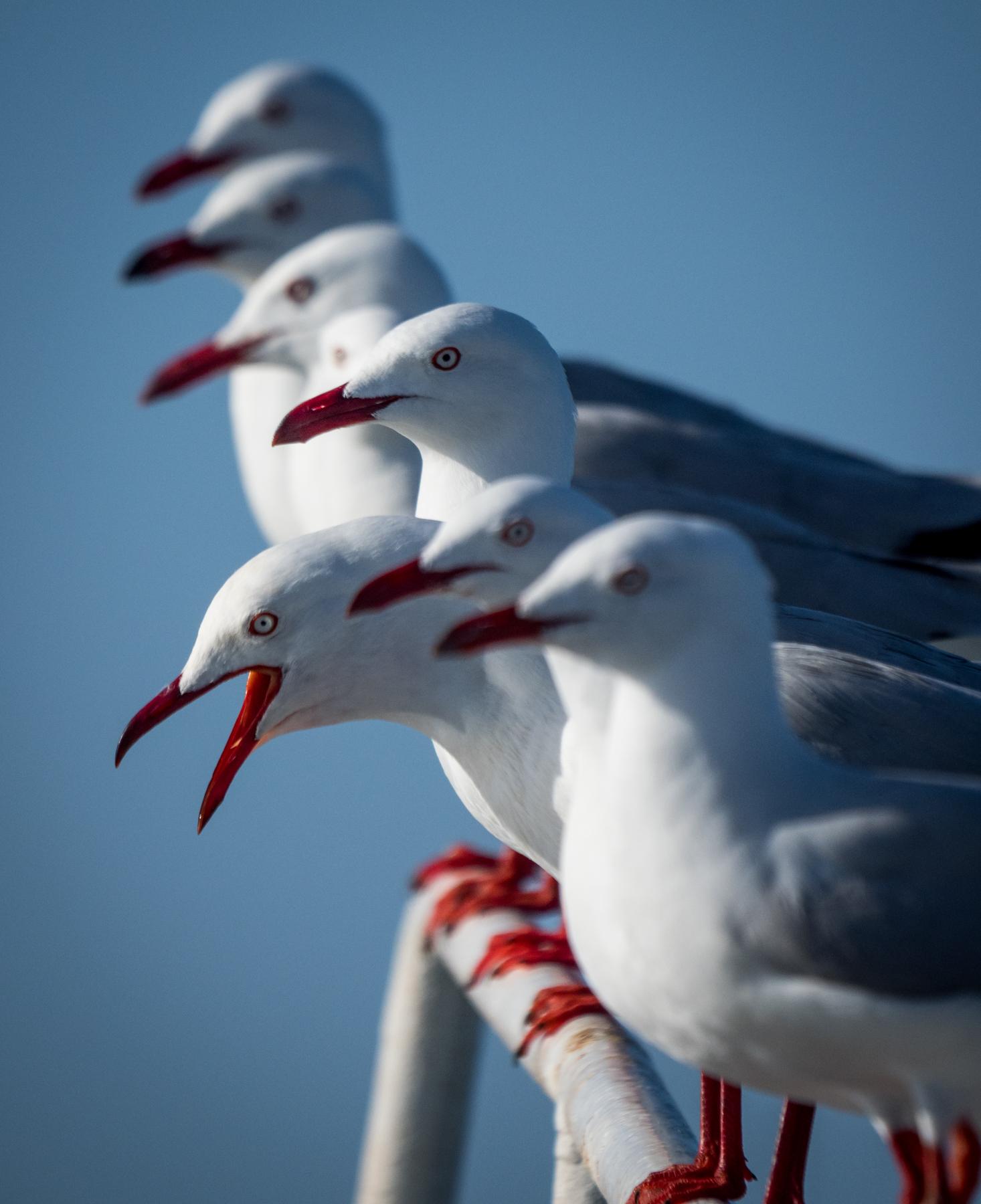 Silver Gull (Image ID 40479)