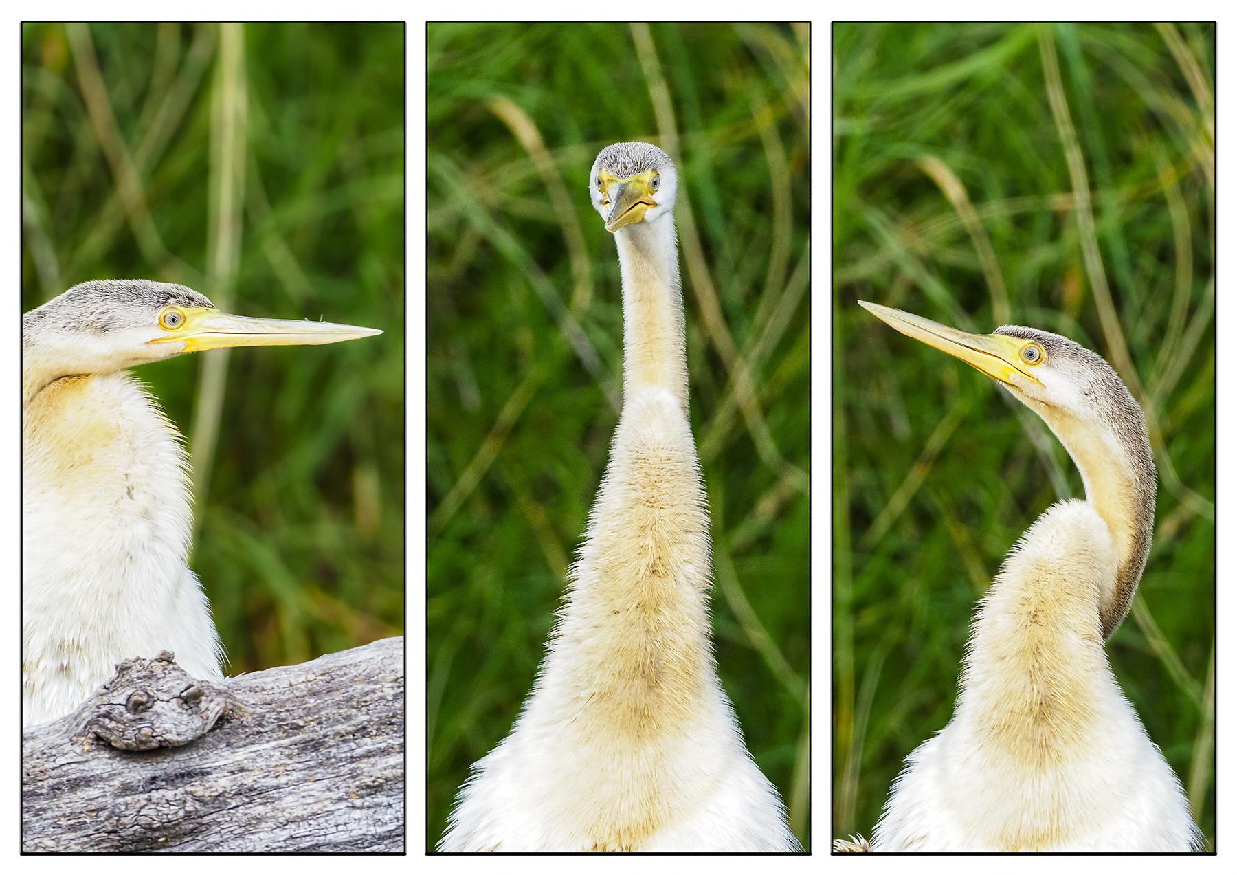 Australasian Darter (Image ID 40414)
