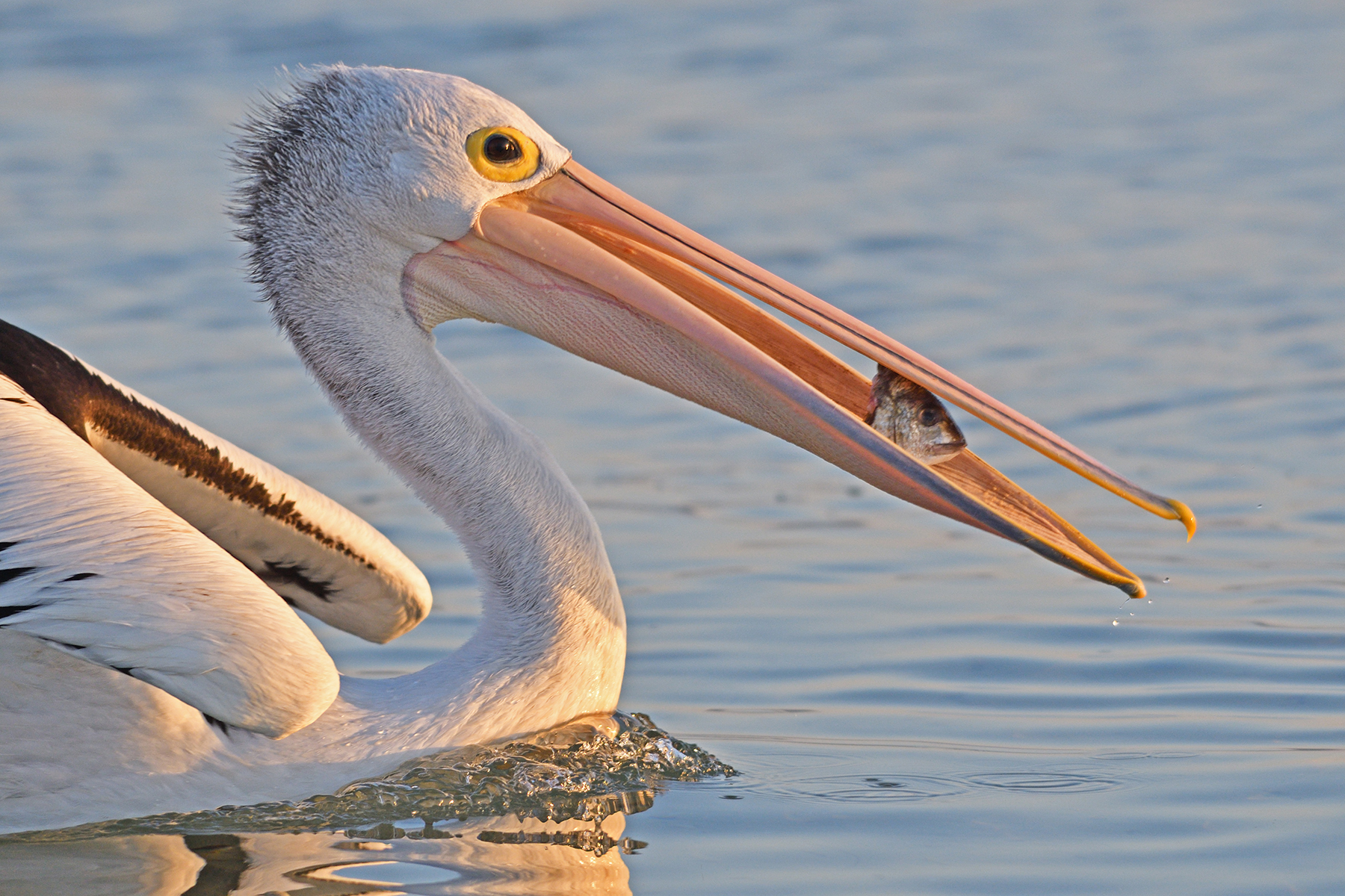 Australian Pelican (Image ID 40656)