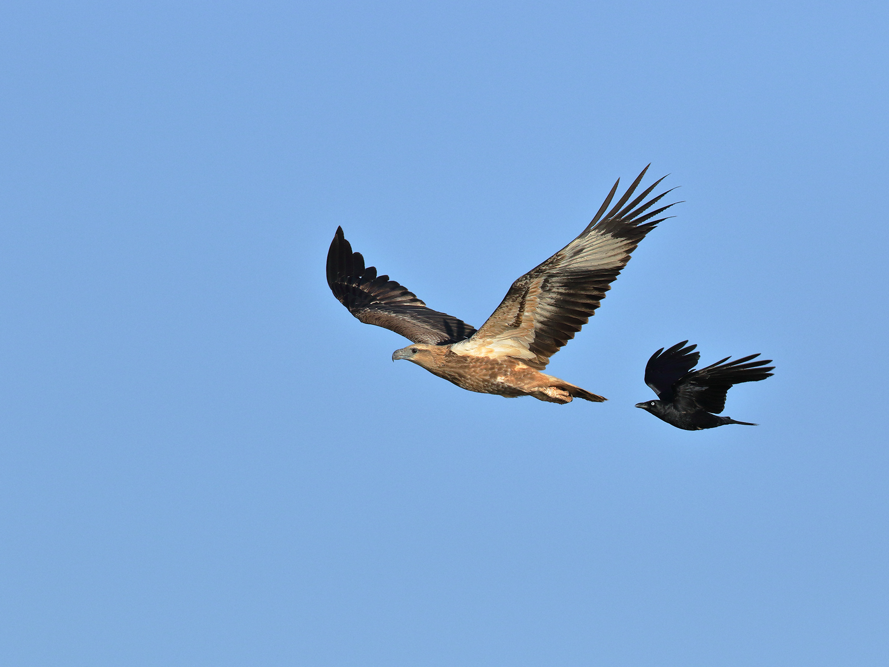 Little Crow, White-bellied Sea-Eagle (Image ID 40372)