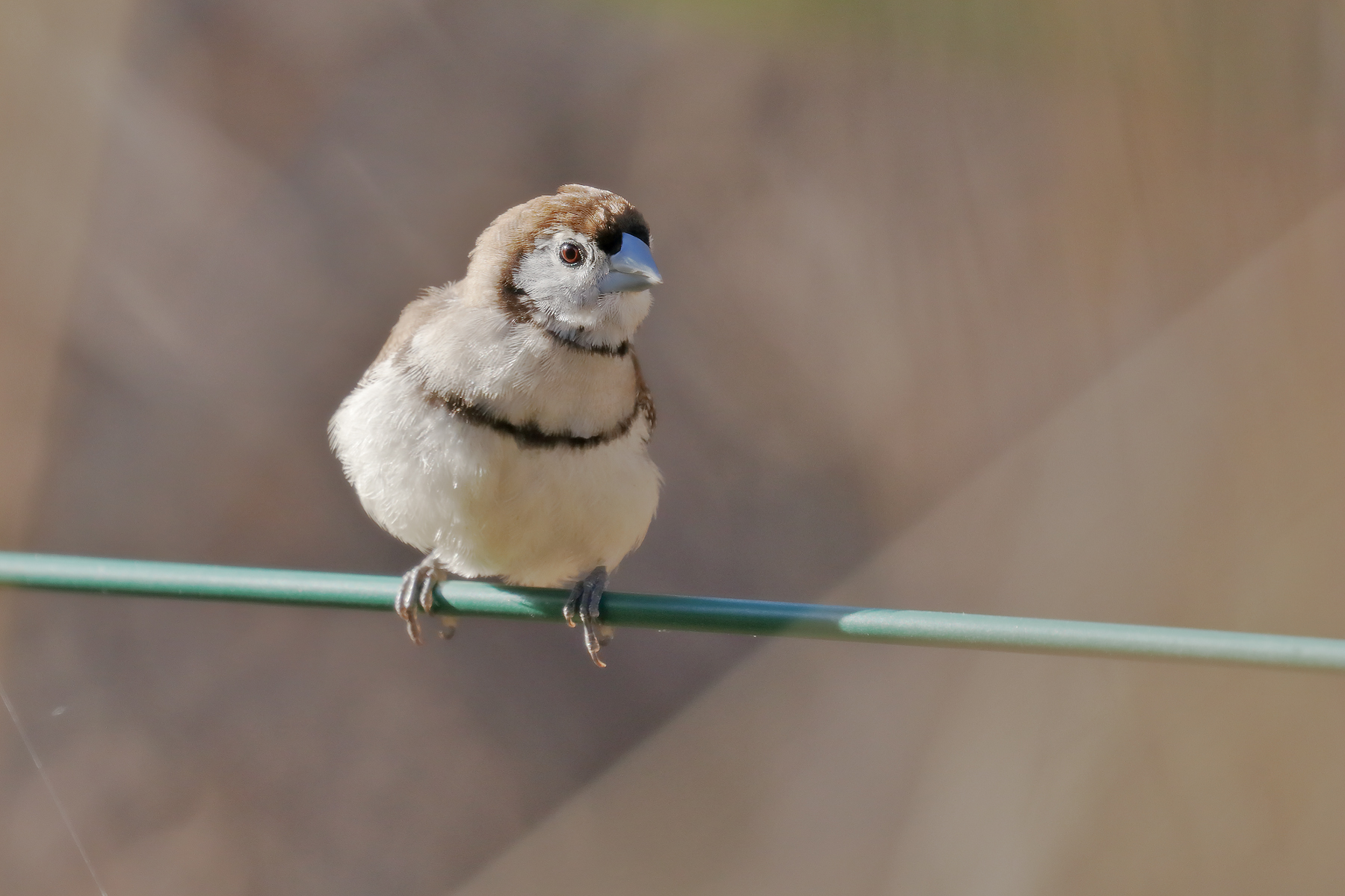 Double-barred Finch (Image ID 40369)