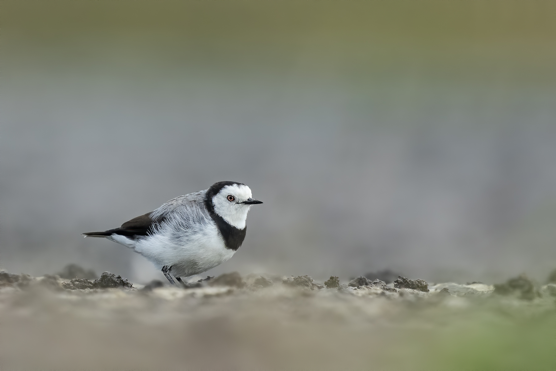 White-fronted Chat (Image ID 40517)