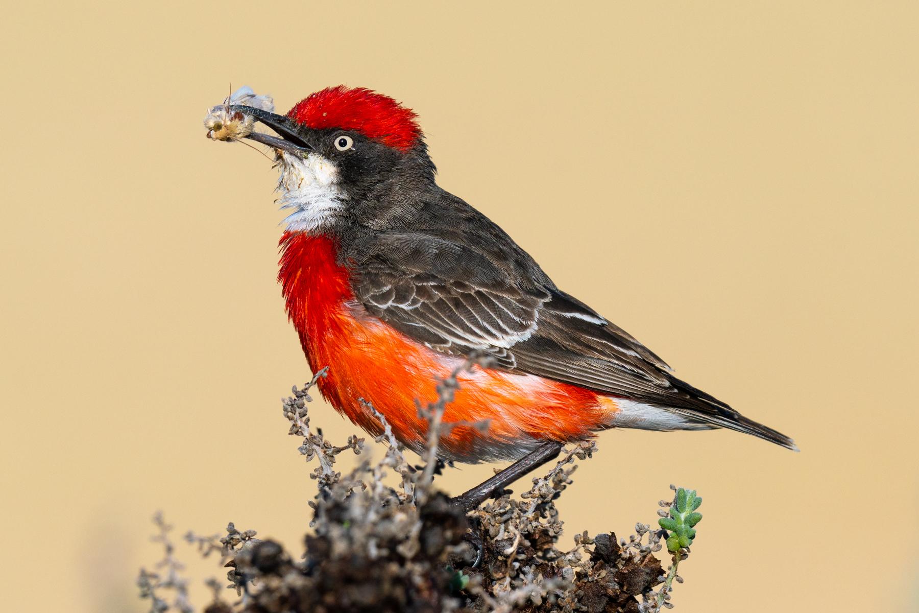 Crimson Chat (Image ID 40469)