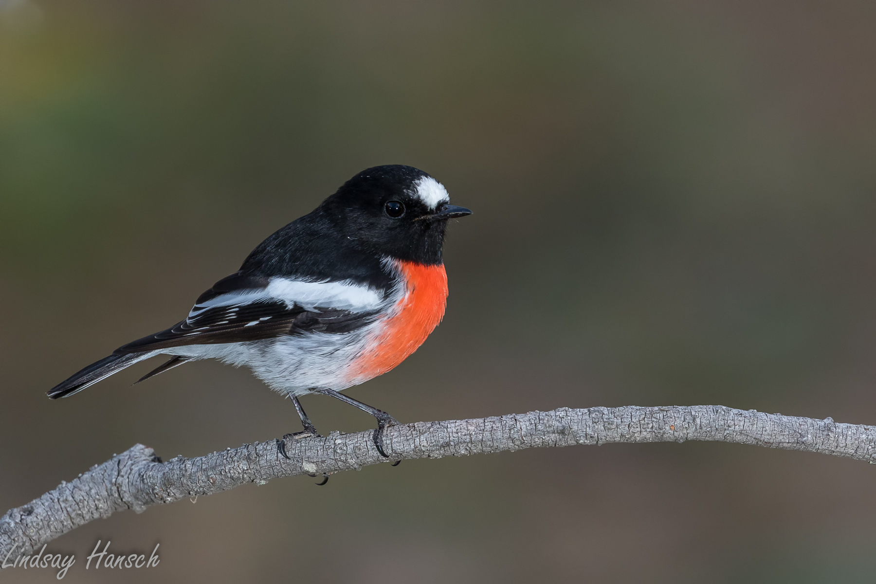 Scarlet Robin (Image ID 40495)