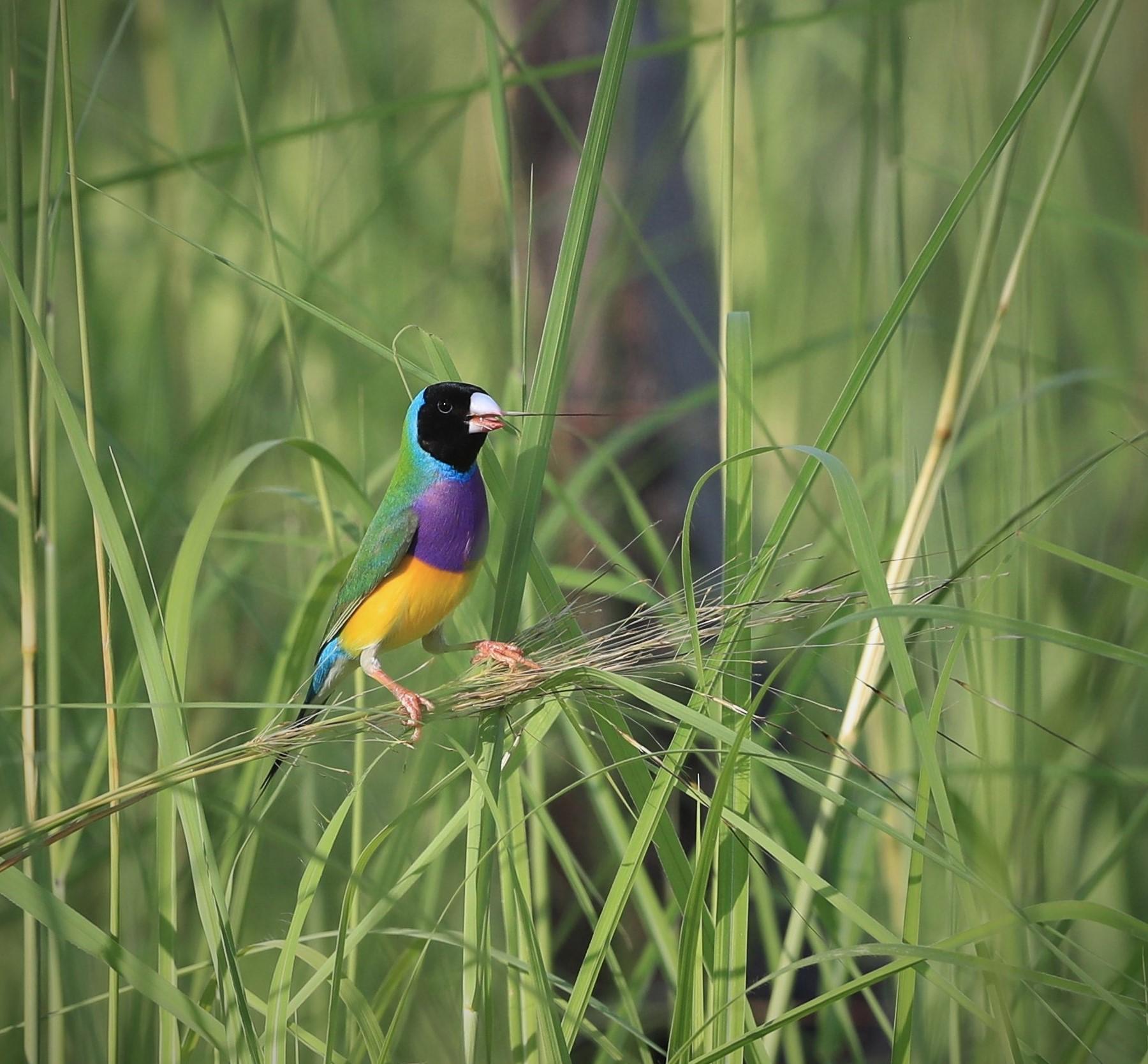 Gouldian Finch (Image ID 40487)
