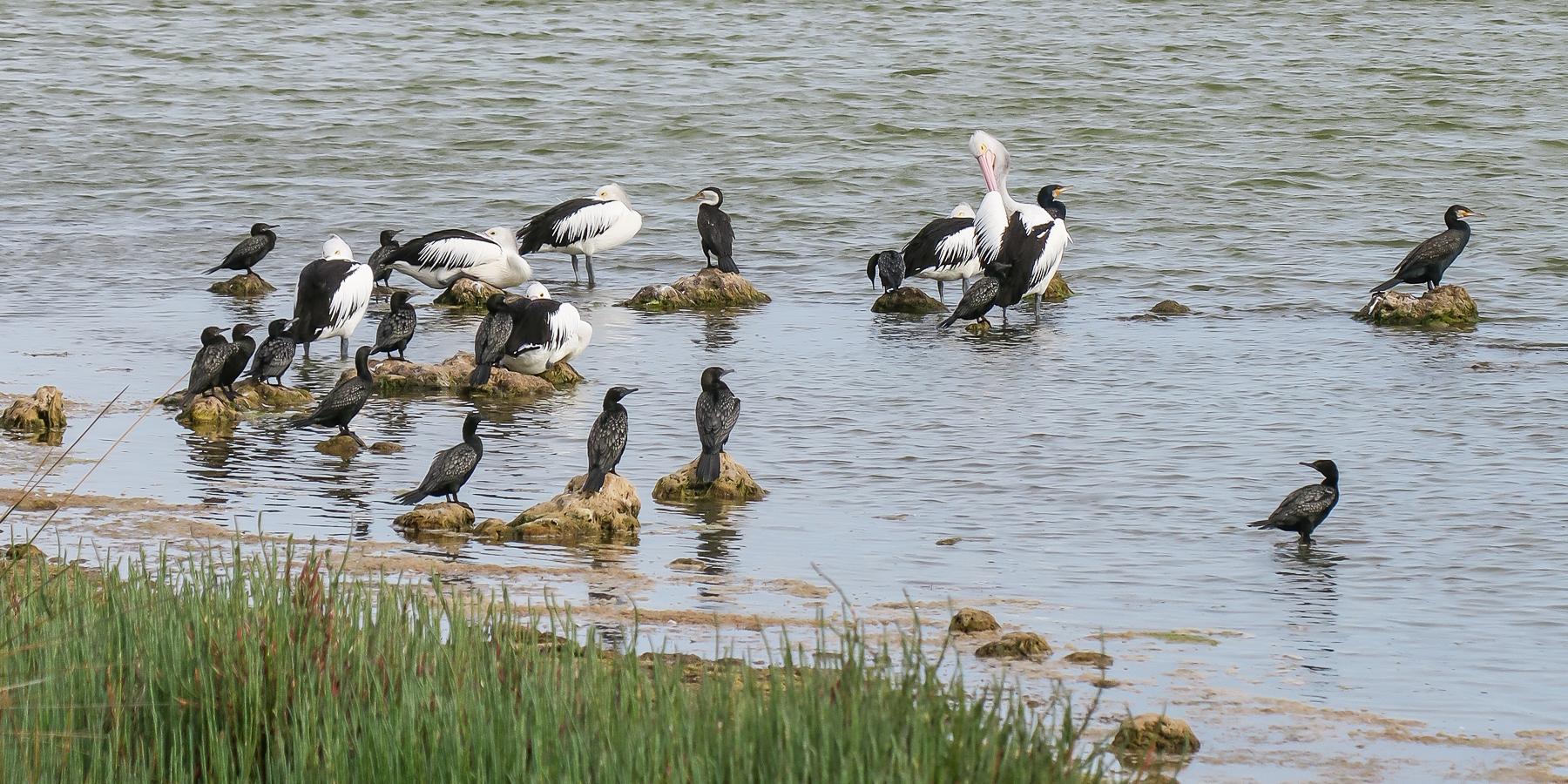 Australian Pelican, Great Cormorant, Great Pied Cormorant, Little Black Cormorant (Image ID 40500)