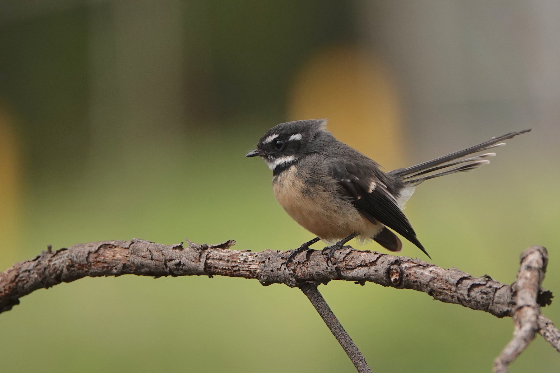Grey Fantail (Image ID 40336)